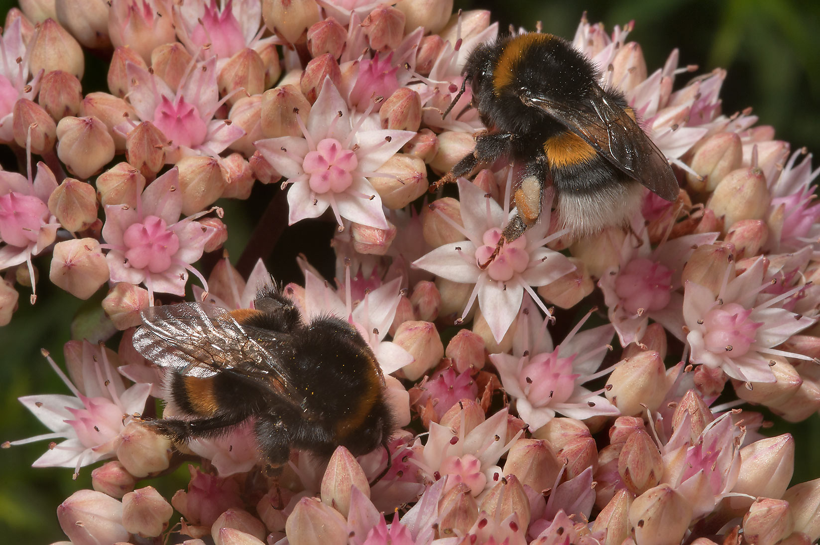 Bumblebees on sedum flowers in Botanic Gardens of...Institute. St.Petersburg, Russia
