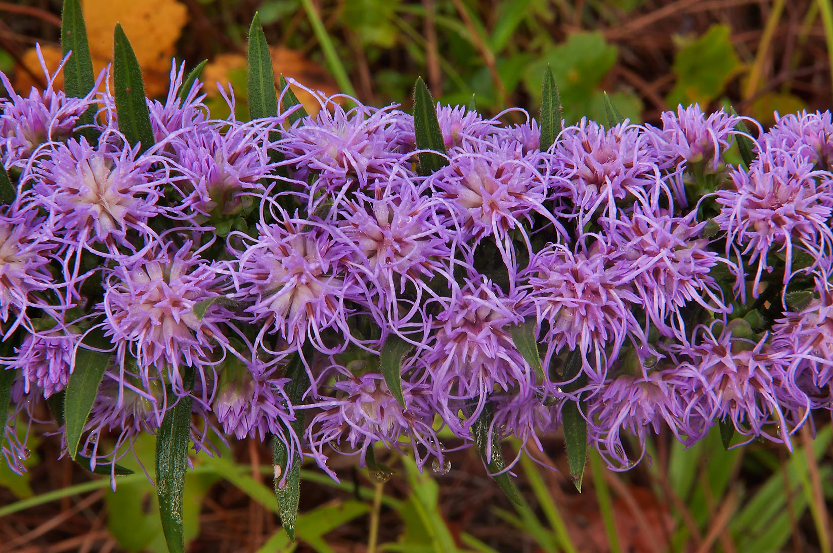 Gayfeather (Liatris) at Little Lake Creek Loop...National Forest. Richards, Texas