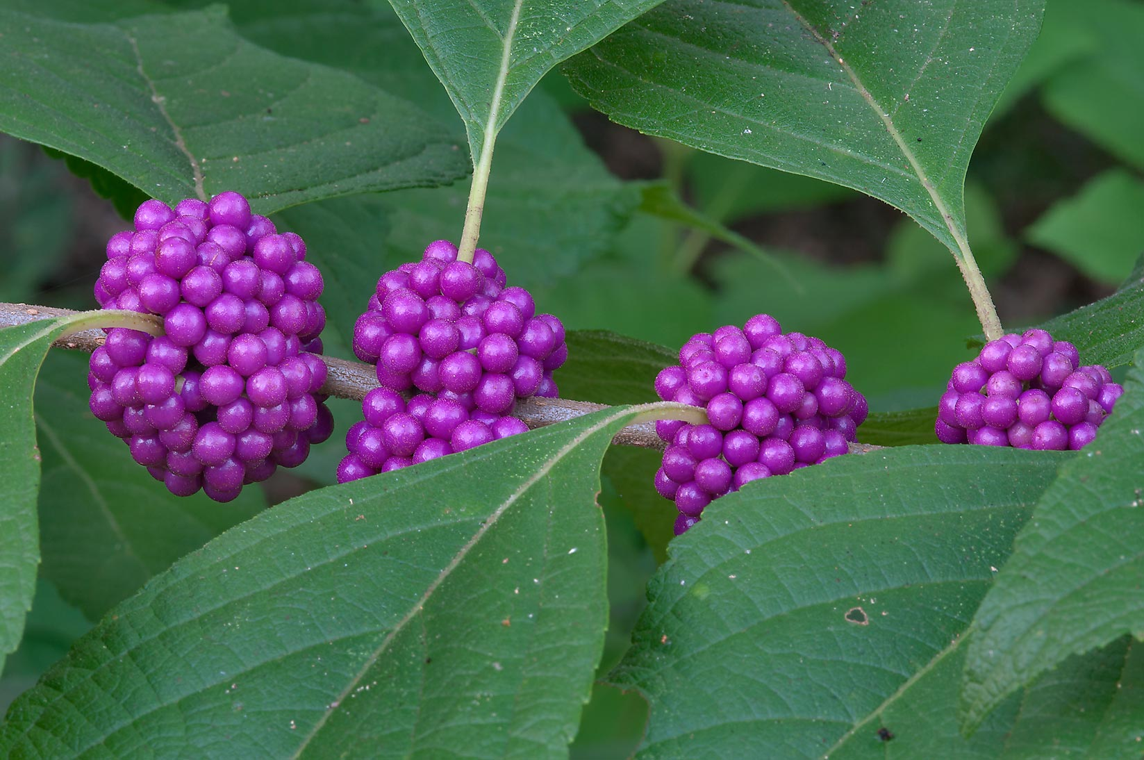Beautyberry (Callicarpa americana) in Lick Creek Park. College Station, Texas