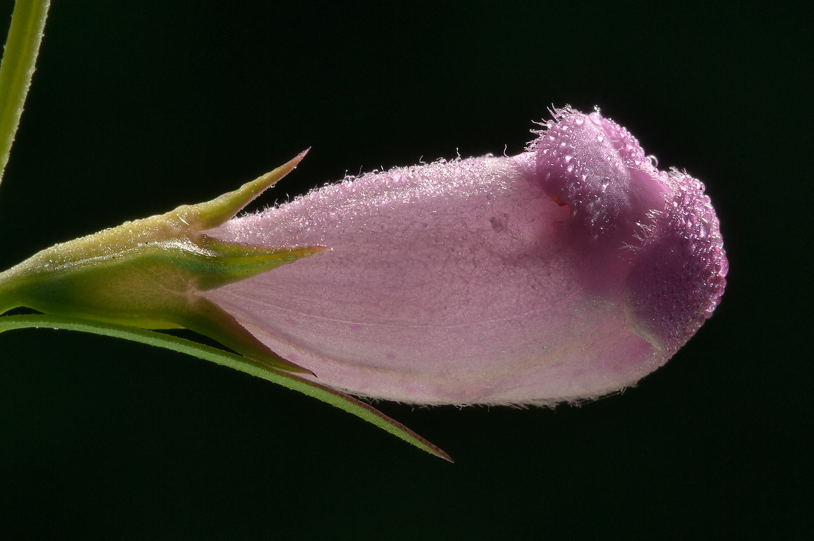 Closed flower of purple gerardia (false foxglove...in Lake Bryan Park. Bryan, Texas