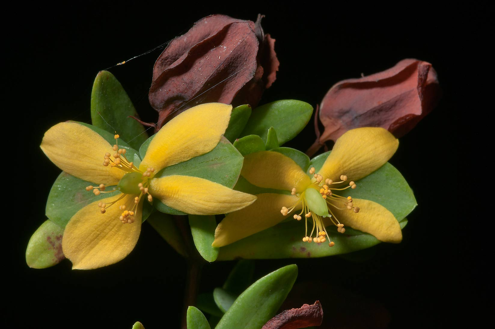St. Andrew cross flower (Hypericum, Ascyrum...Creek Park. College Station, Texas