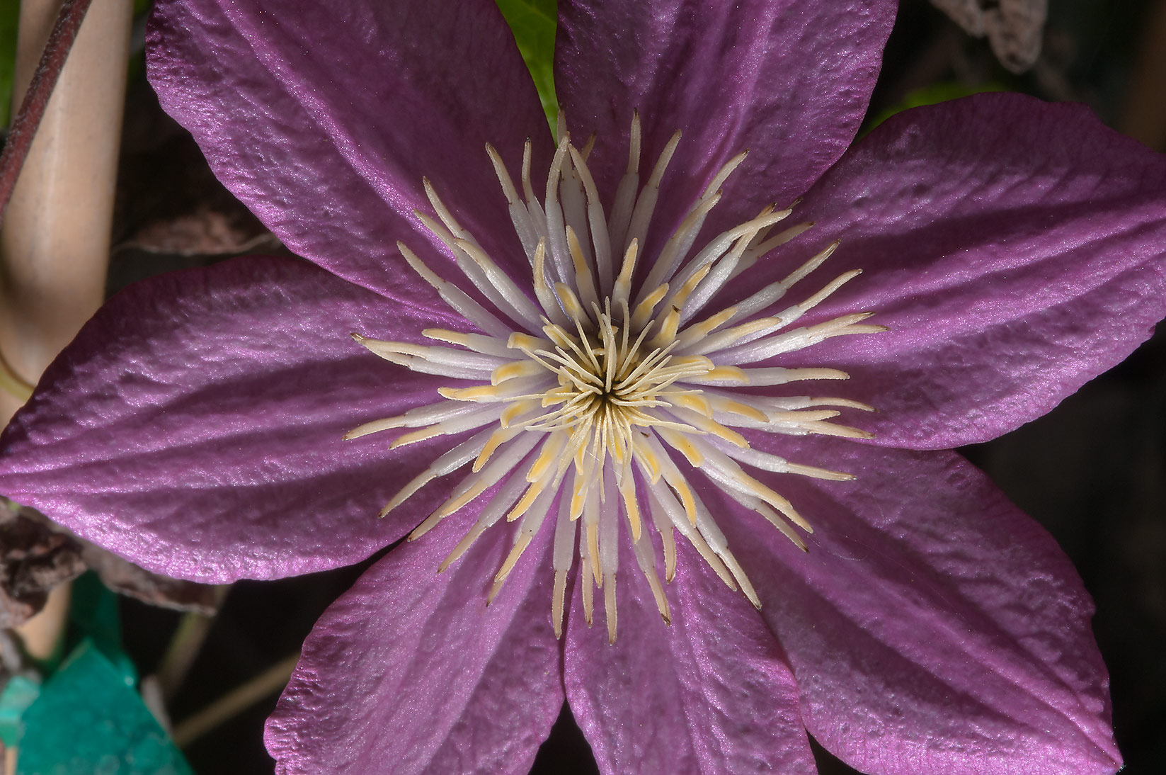 Clematis flower in Antique Rose Emporium. Independence, Texas
