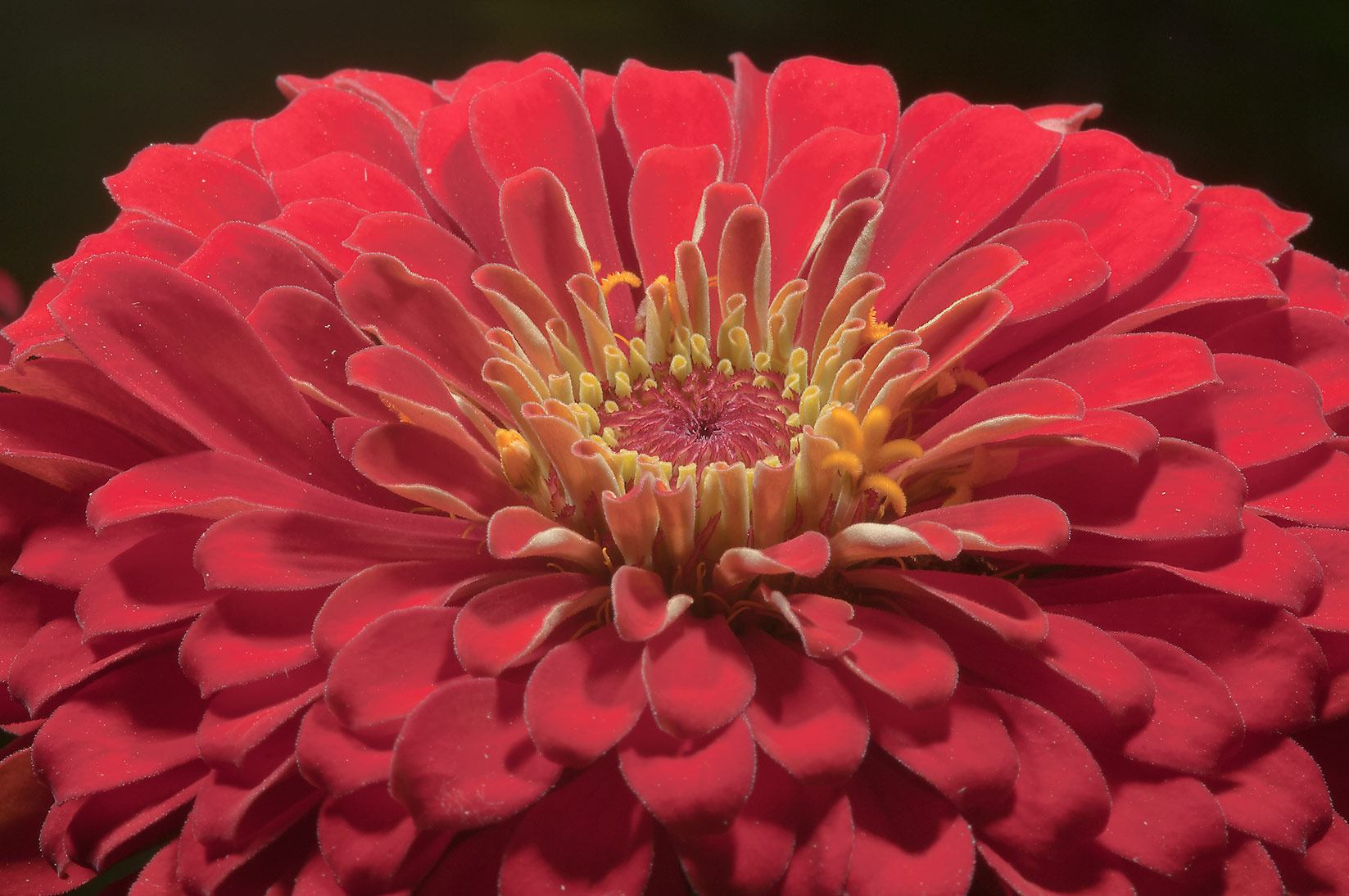 Red zinnia flower in Antique Rose Emporium. Independence, Texas