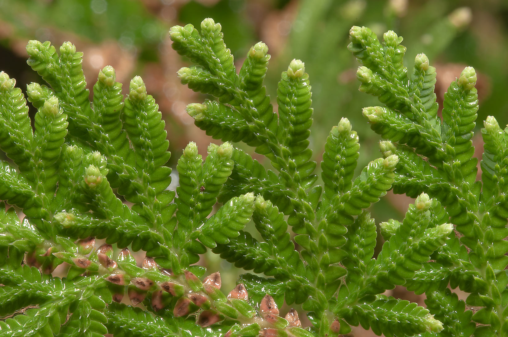 Arborvitae Fern (moss fern, Selaginella...Rose Emporium. Independence, Texas