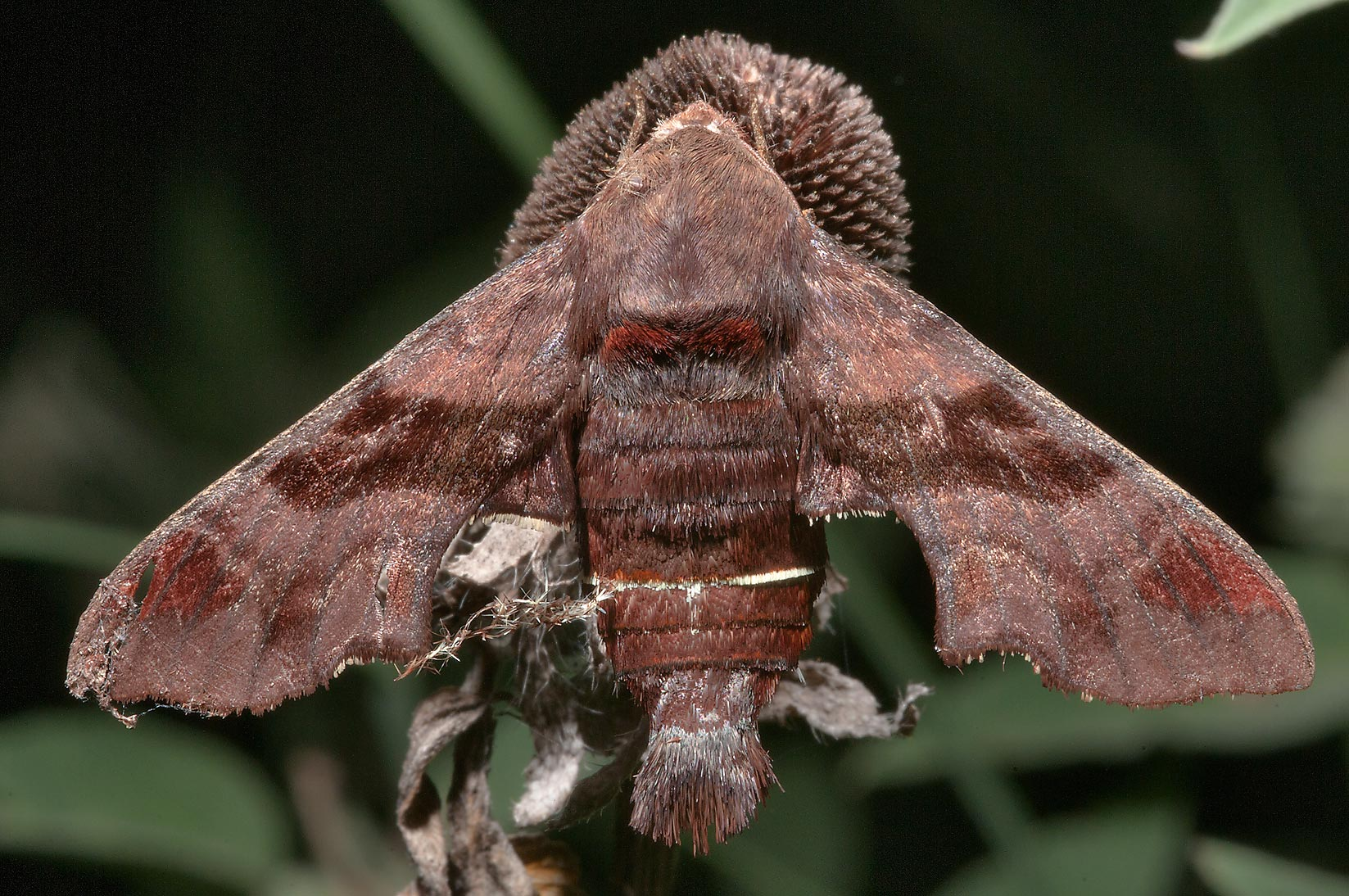 Brown hawk moth sleeping on a dry coneflower near...of Somerville Lake State Park. Texas