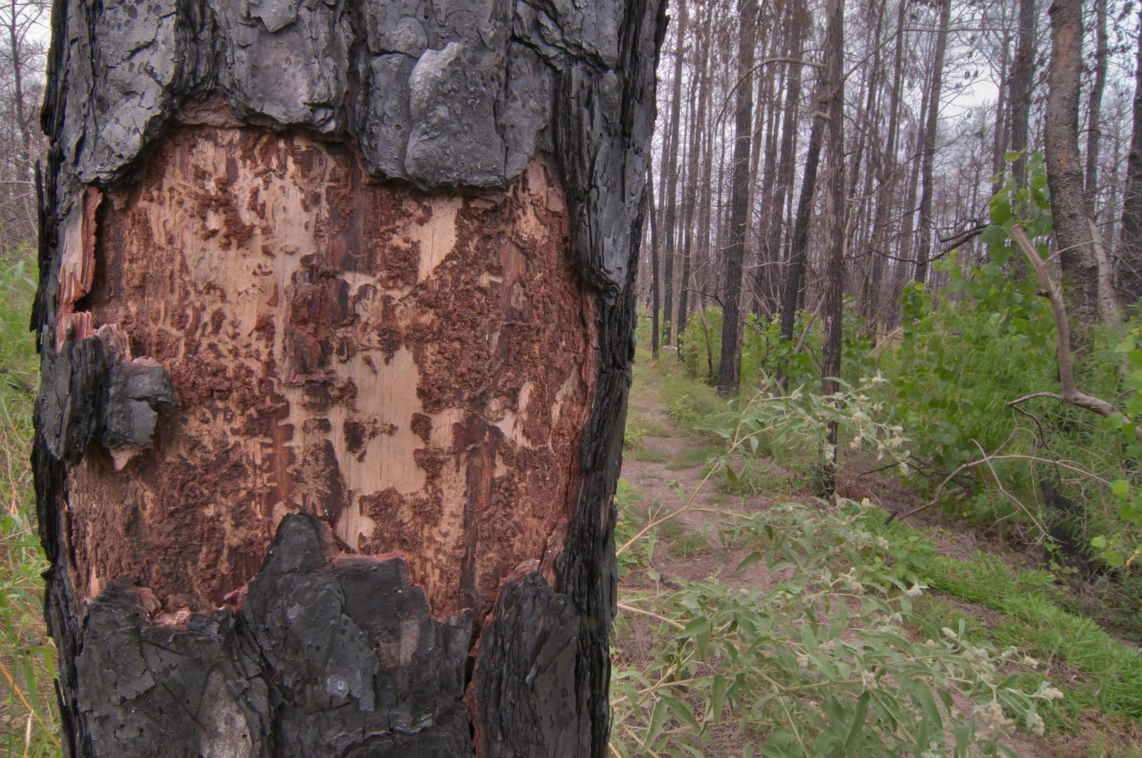 Burnt pine damaged by bark beetles in Bastrop State Park. Bastrop, Texas