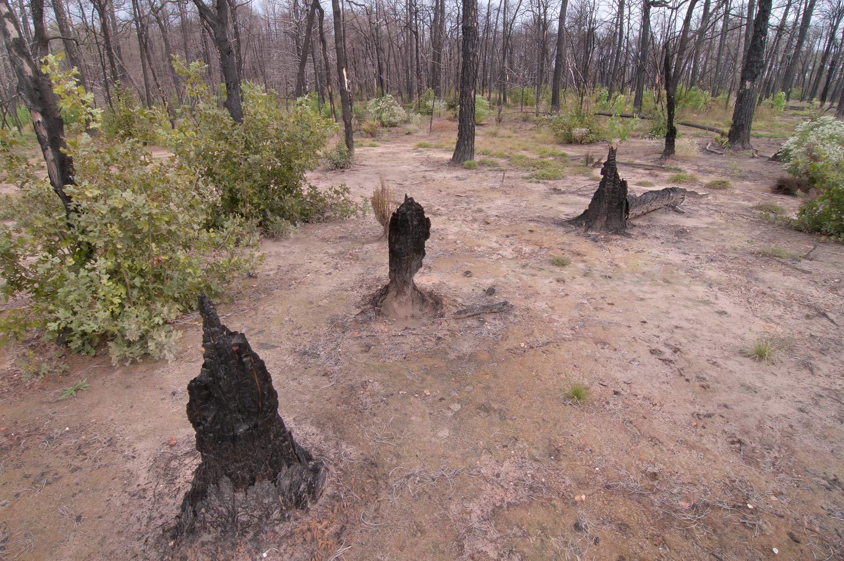 Tree stumps in Bastrop State Park. Bastrop, Texas