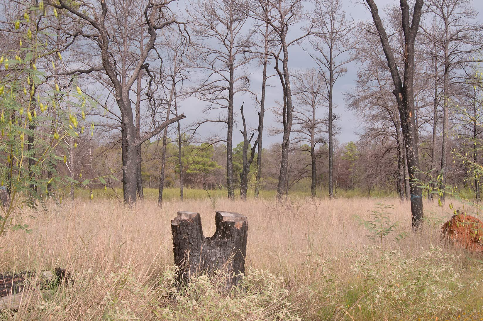 Cut tree in Bastrop State Park. Bastrop, Texas