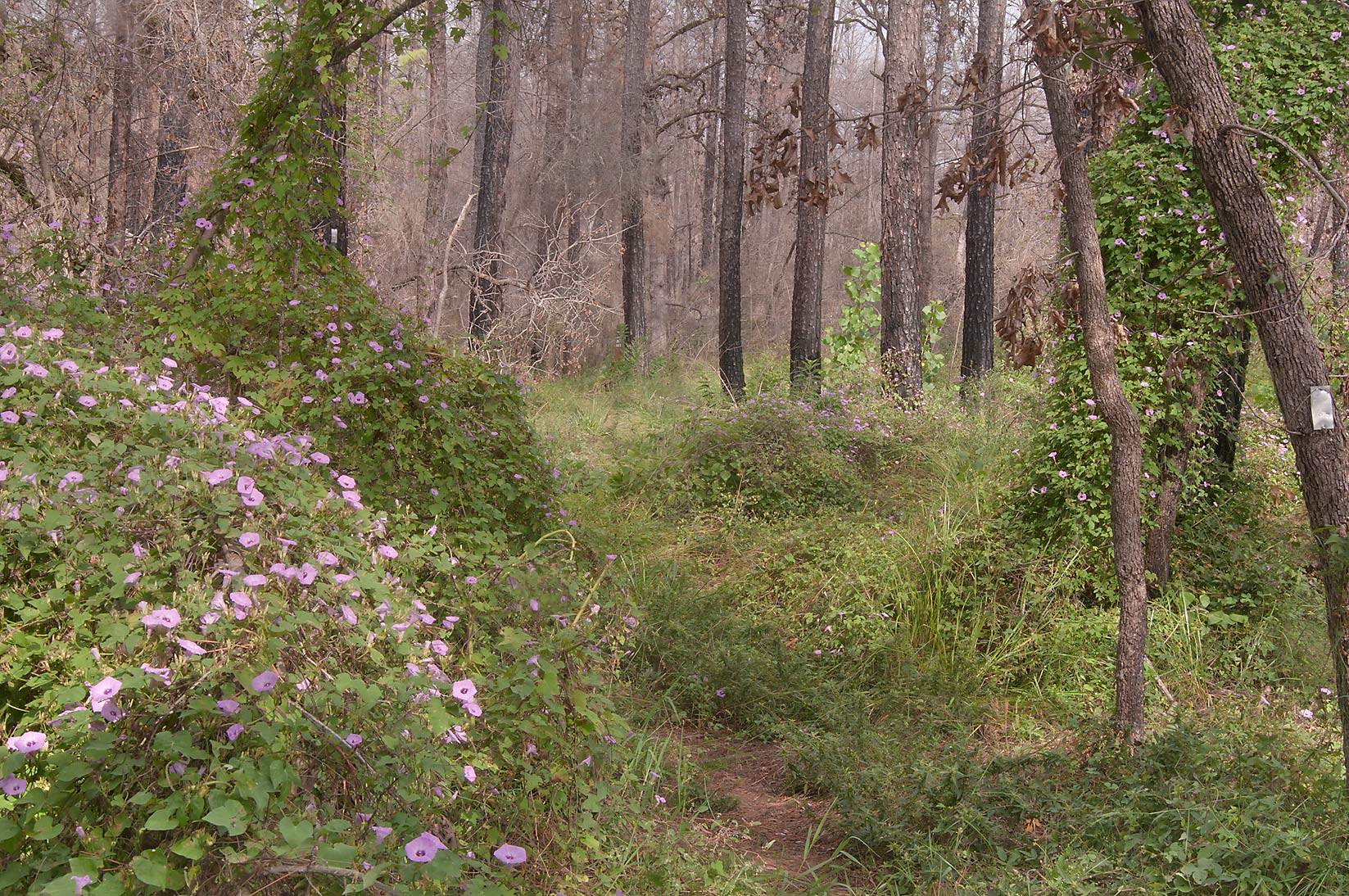 Jungles of morning glory at Lost Pines Trail in Bastrop State Park. Bastrop, Texas
