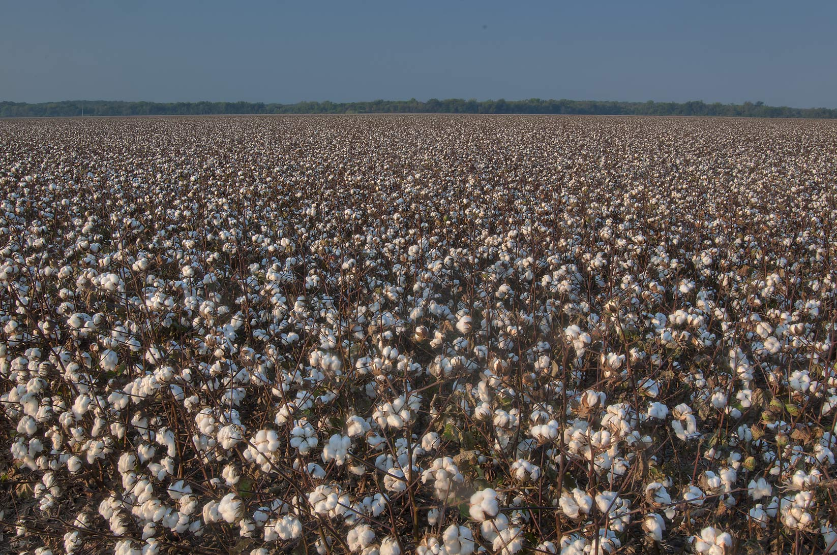College Station-Washington-on-the-Brazos, Texas  - Cotton field from CR 264. Gause, Texas