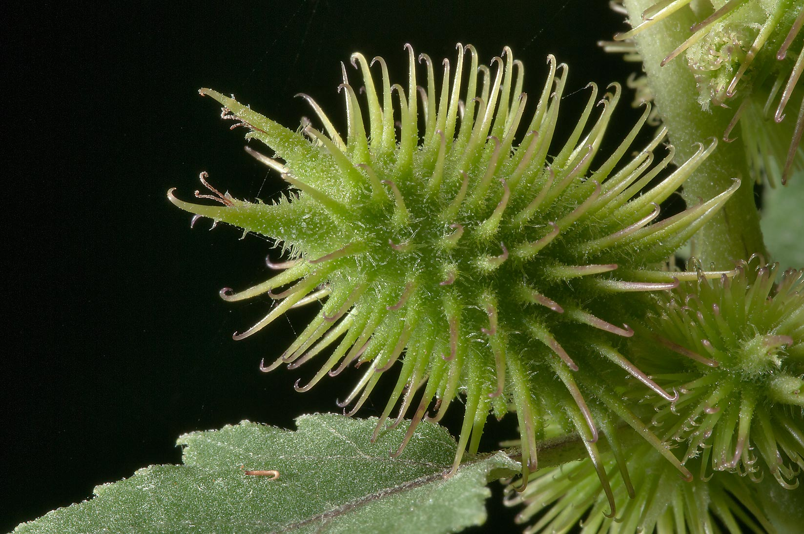 Green bur of Rough Cocklebur (Xanthium strumarium...Creek Park. College Station, Texas