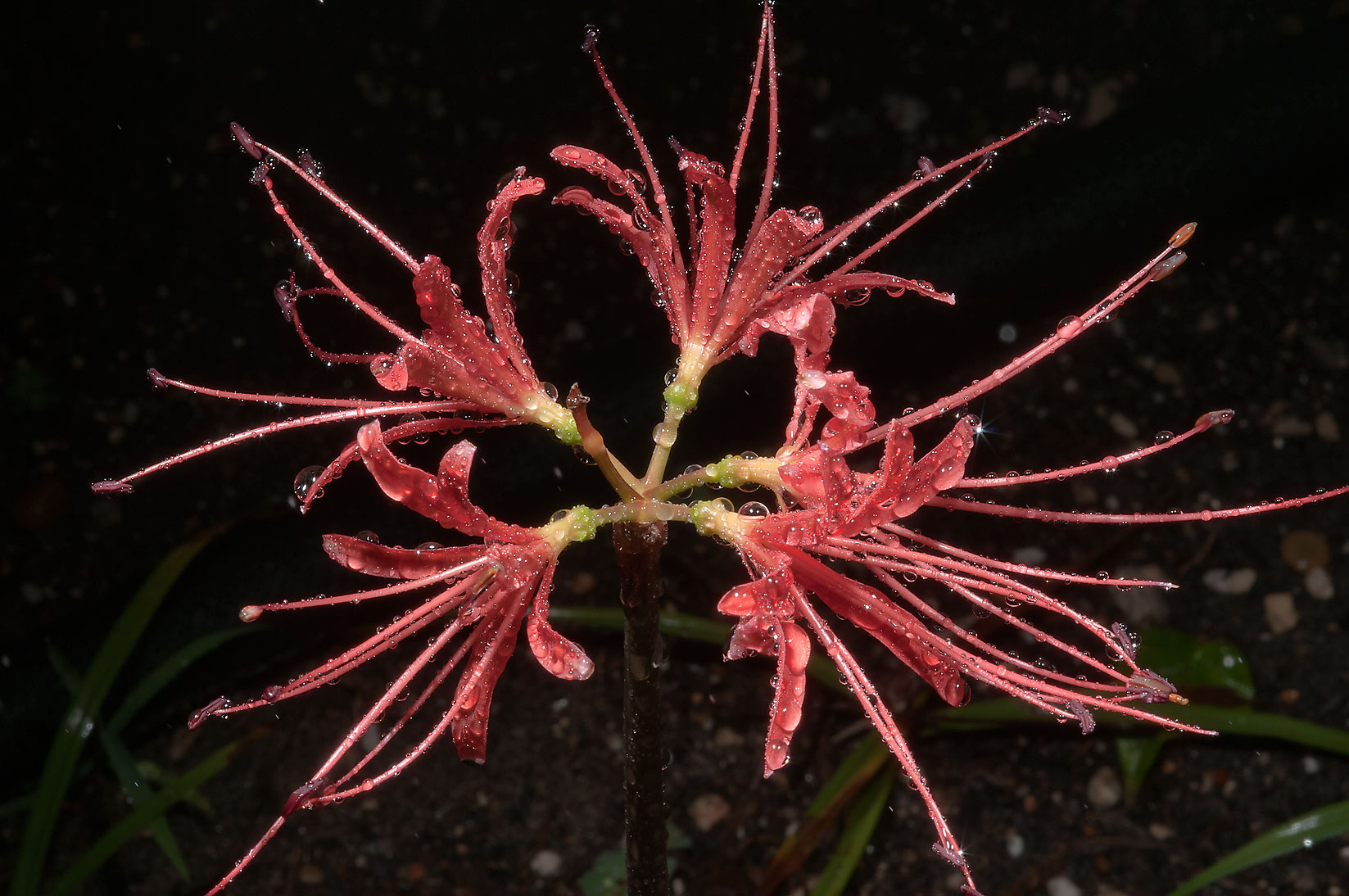 Red spider lily (Lycoris radiata) in TAMU...M University. College Station, Texas