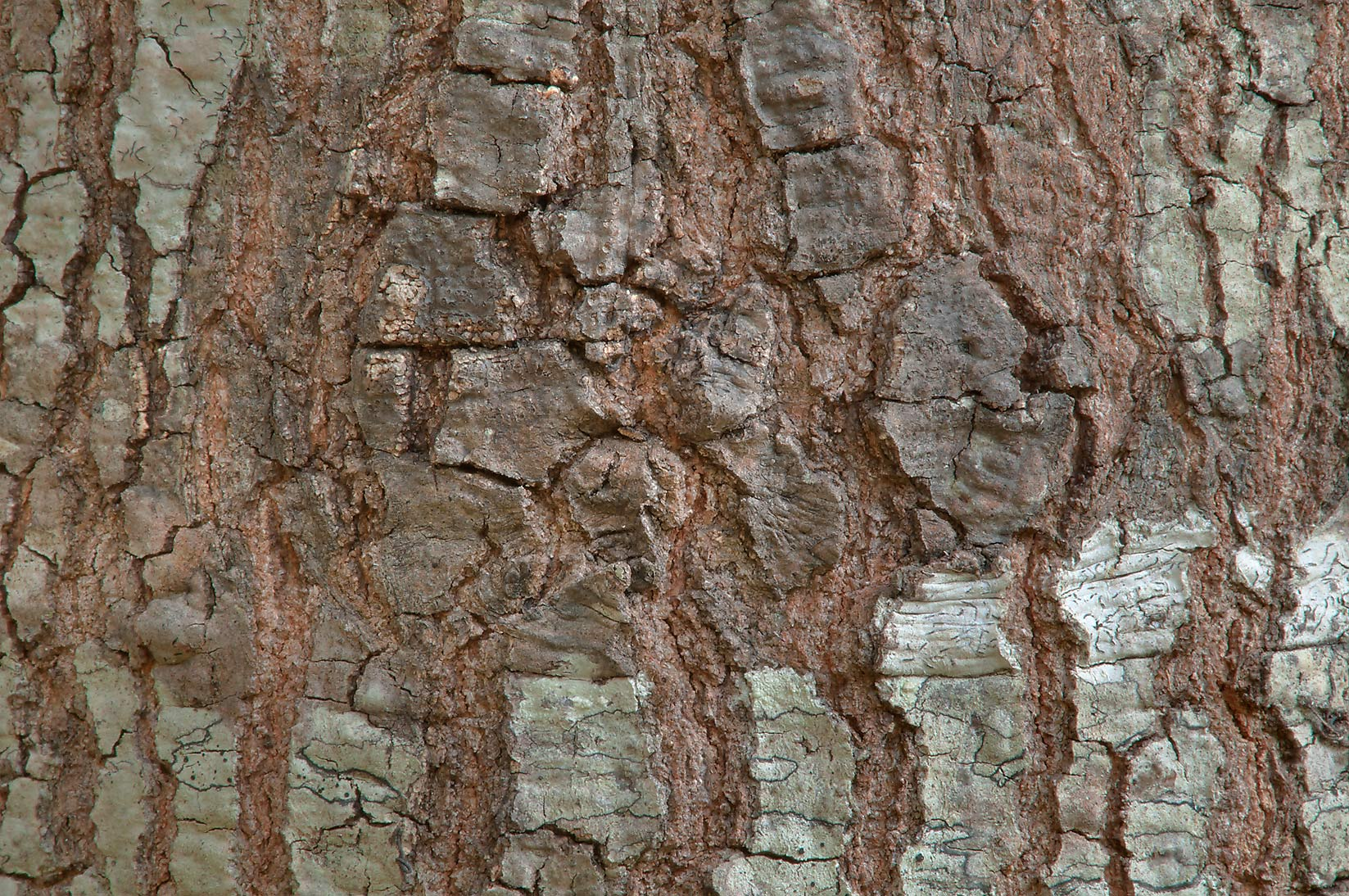 Oak bark in Lick Creek Park. College Station, Texas