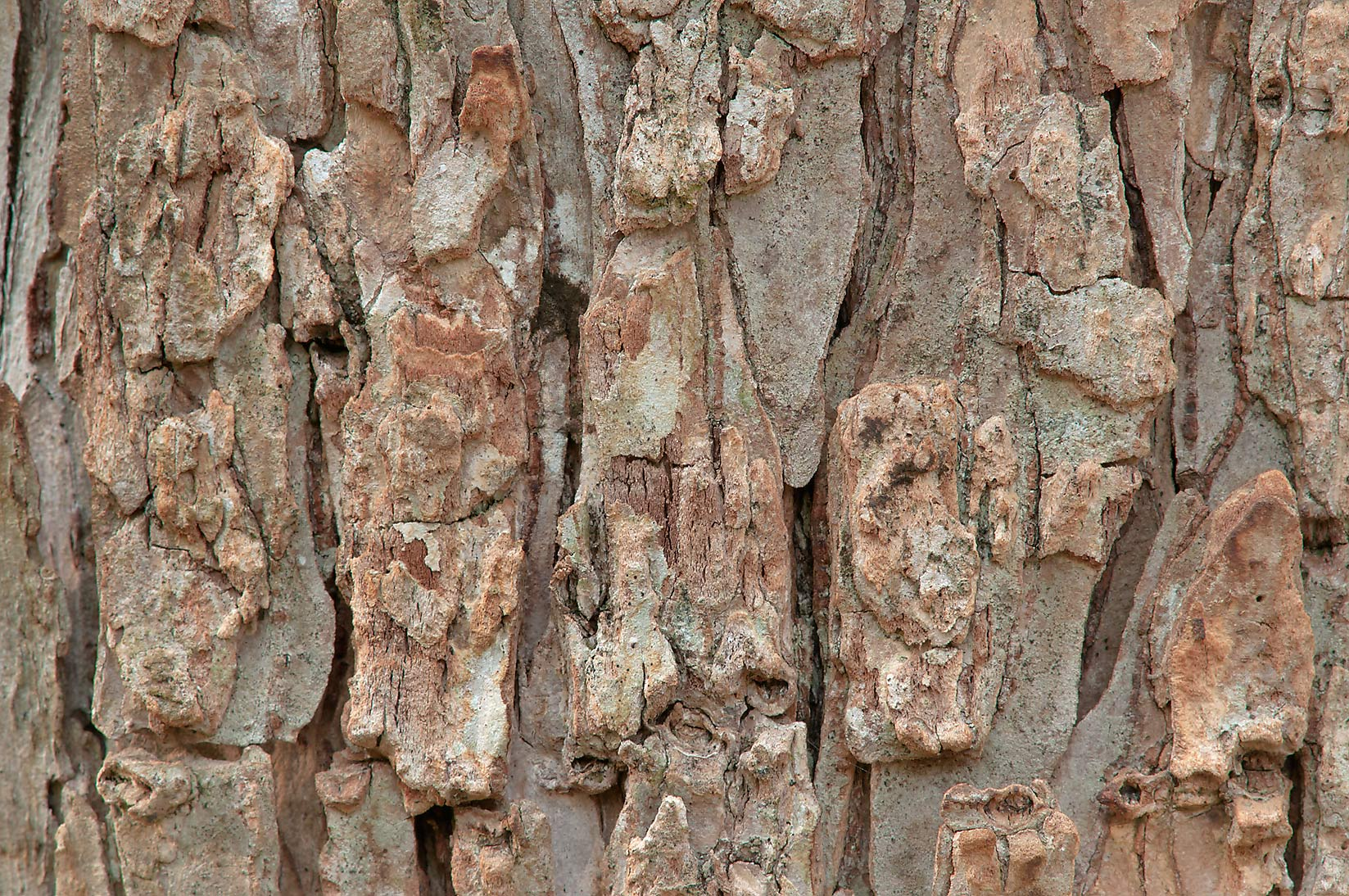 Tree bark with sapsucker holes in Lick Creek Park. College Station, Texas