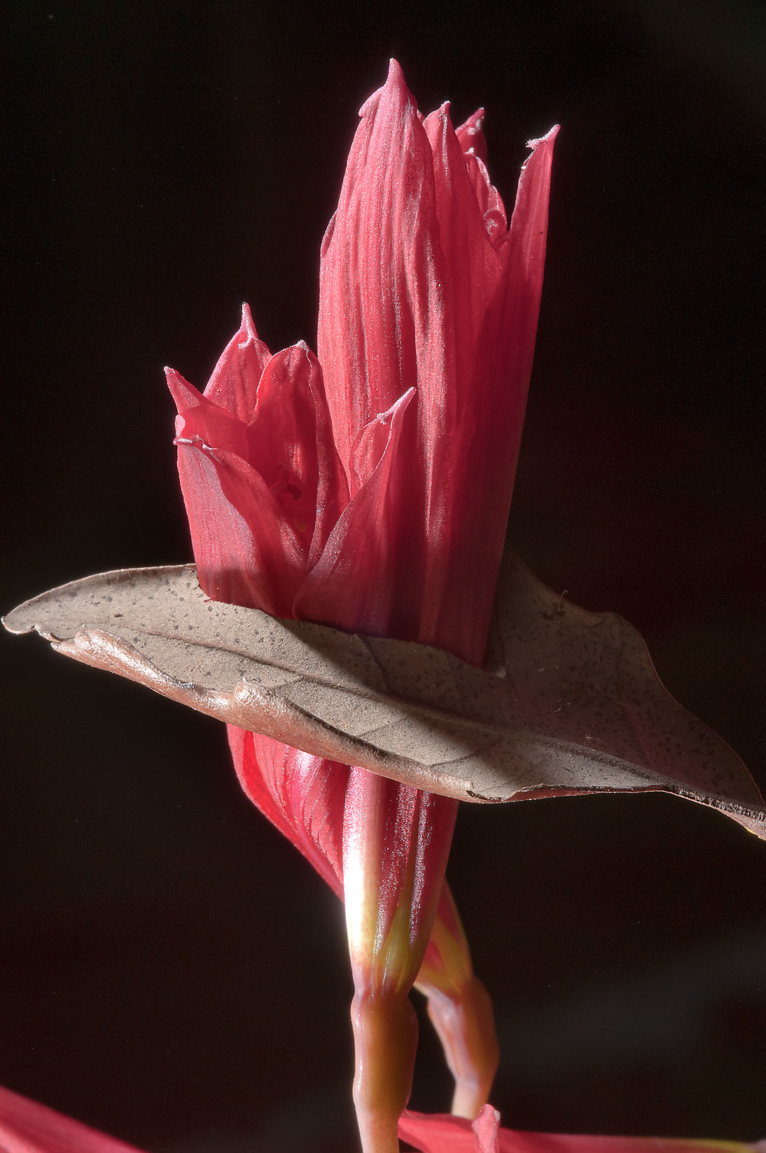 Oxblood lily (Rhodophiala bifida) grown through a...M University. College Station, Texas