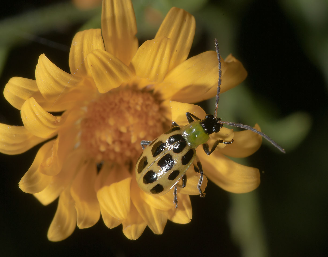 Corn beetle eating yellow aster in Lick Creek Park. College Station, Texas