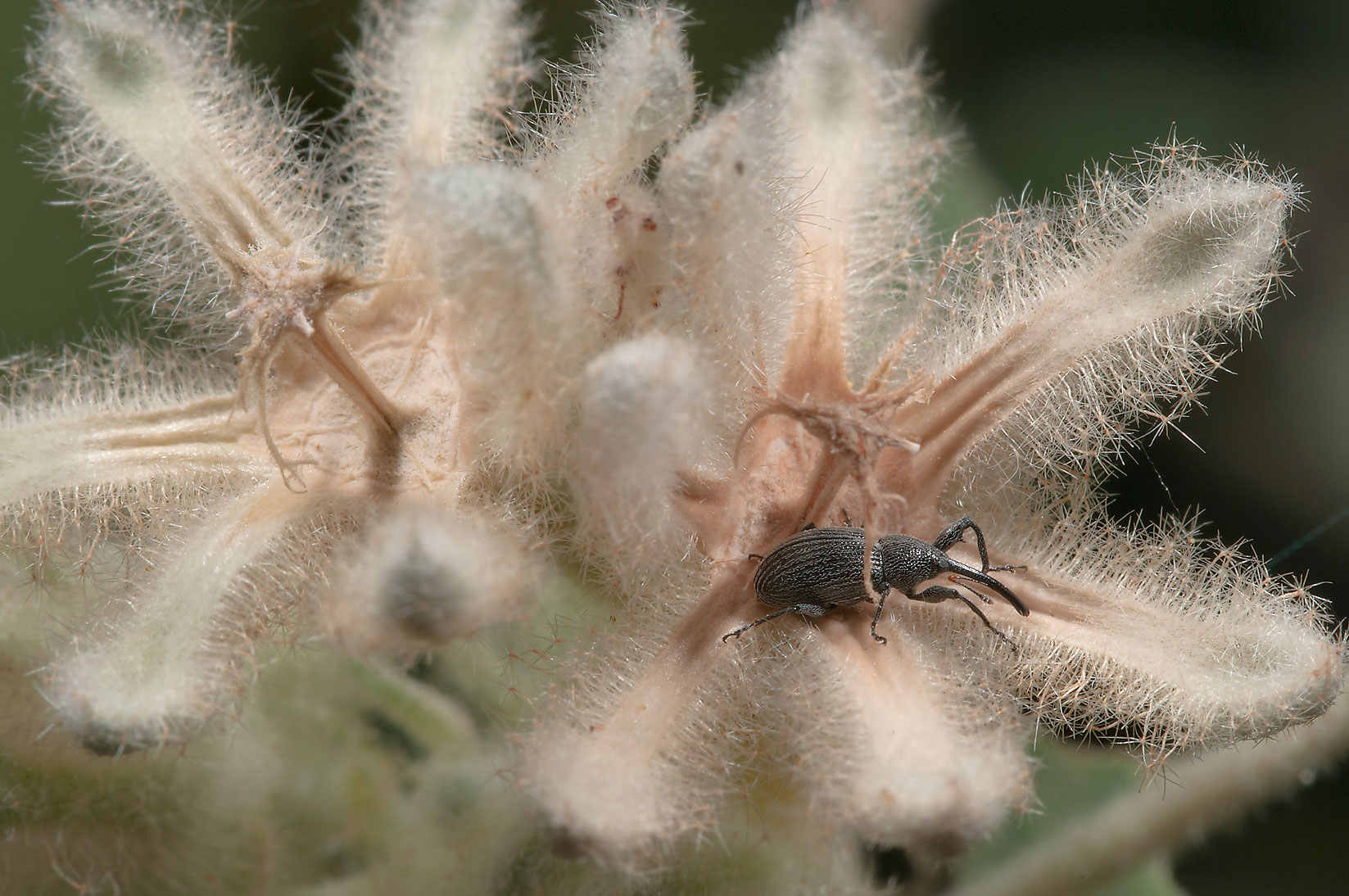 Snout beetle (weevil) on seed pods of woolly...Creek Park. College Station, Texas
