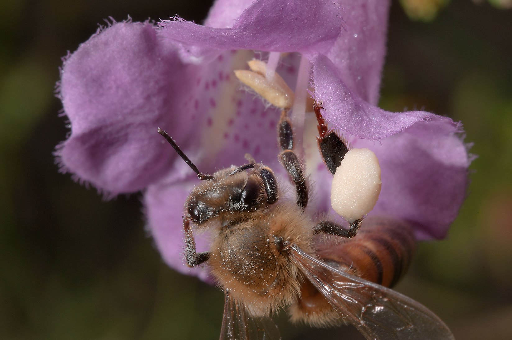 Honey bee on purple gerardia (false foxglove...in Lake Bryan Park. Bryan, Texas