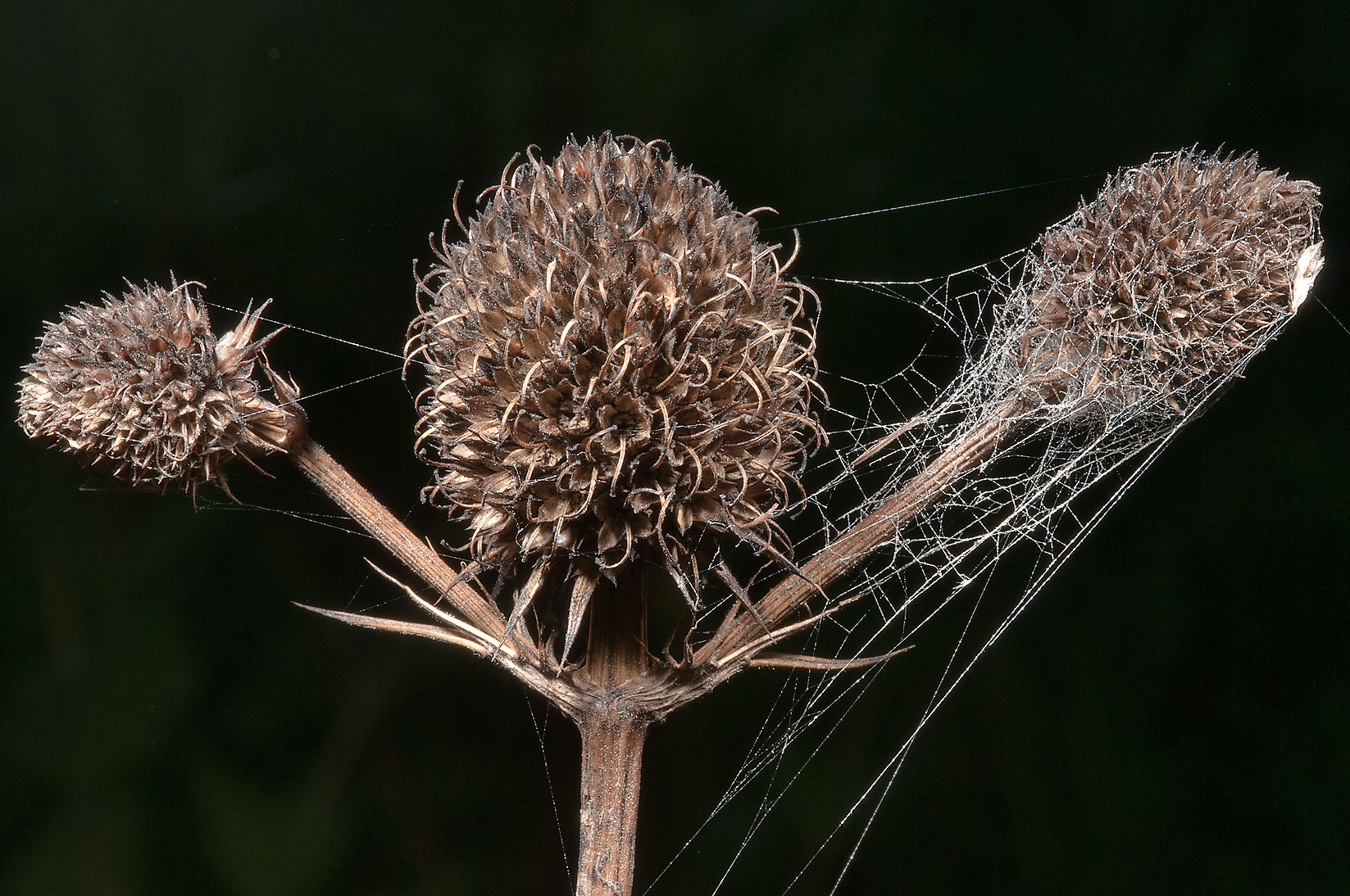 Dry seed heads of Button snakeroot (yuccaleaf...Creek Park. College Station, Texas