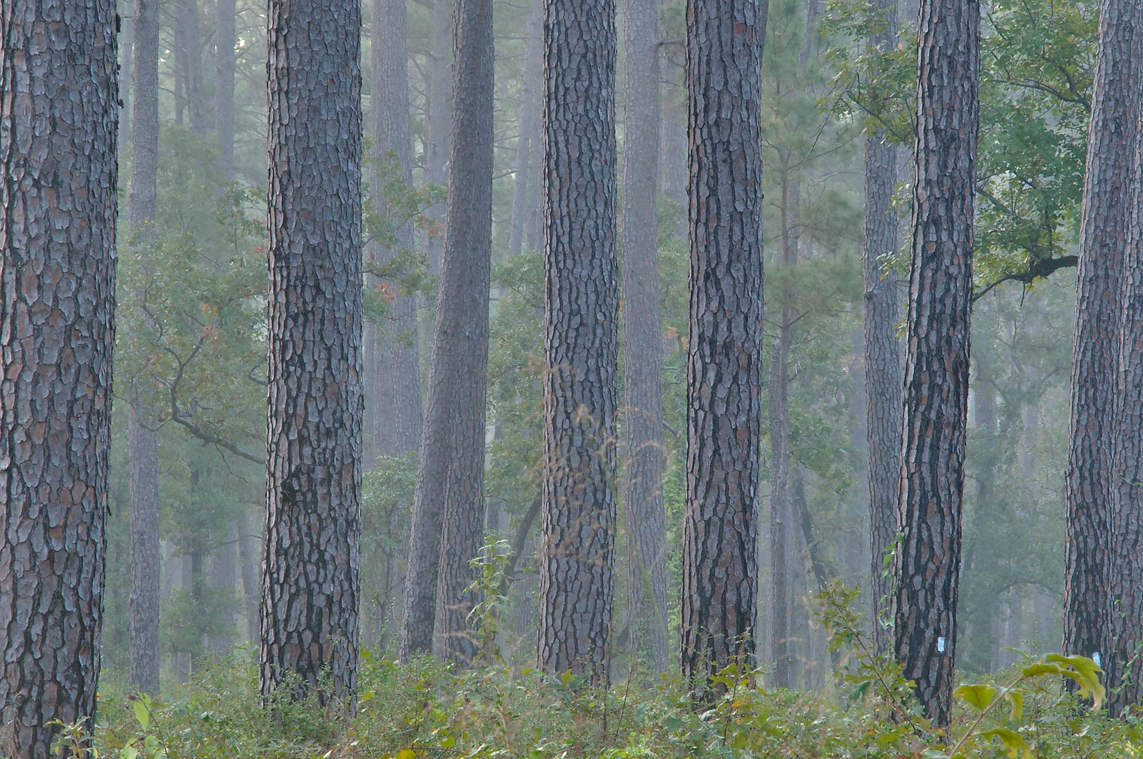 Pine trees near Little Lake Creek Loop Trail in...National Forest. Richards, Texas