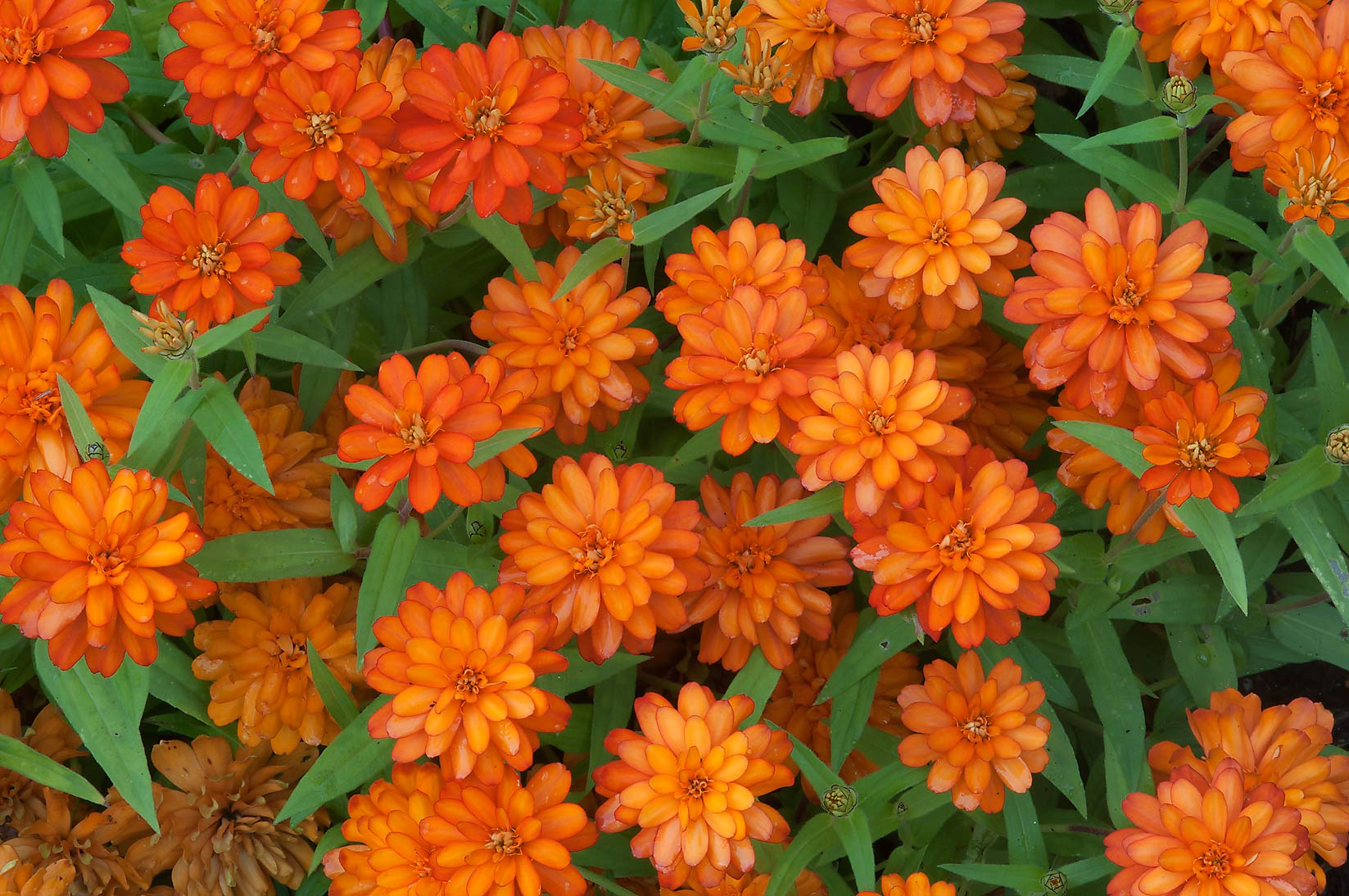 Orange flowers of narrowleaf zinnia (Zinnia...Gardens. Humble (Houston area), Texas