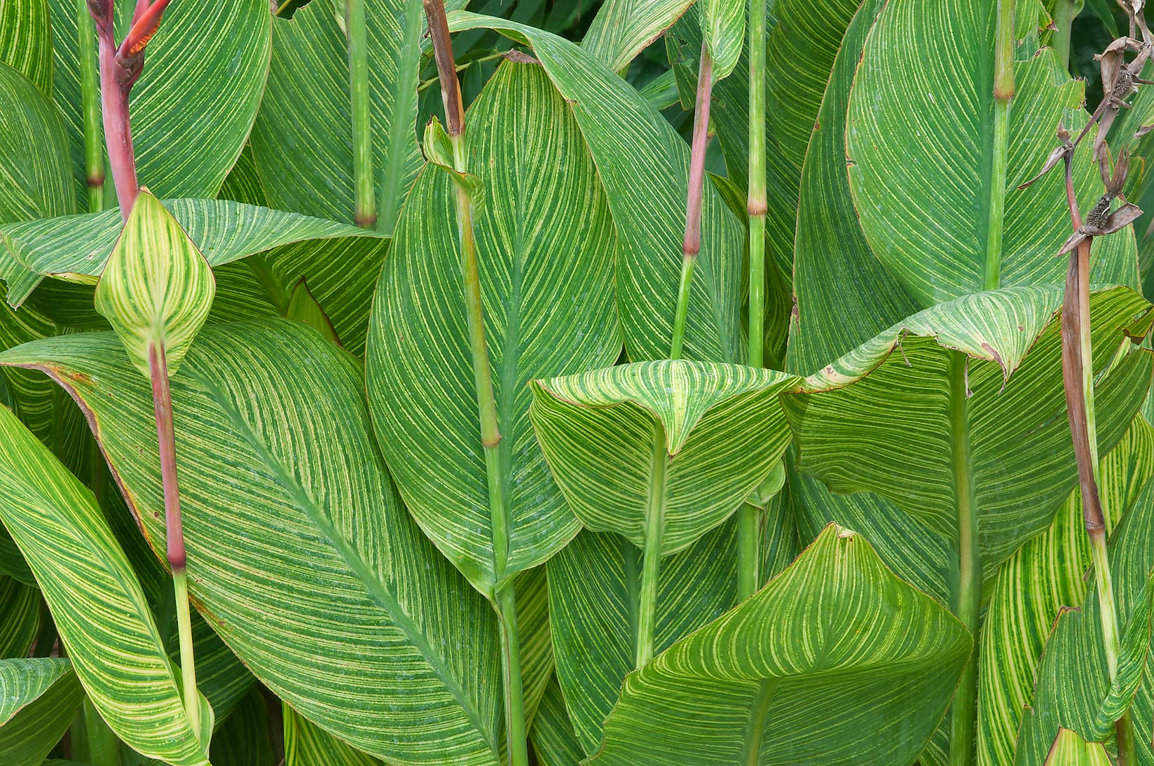 Canna leaves in Mercer Arboretum and Botanical Gardens. Humble (Houston area), Texas
