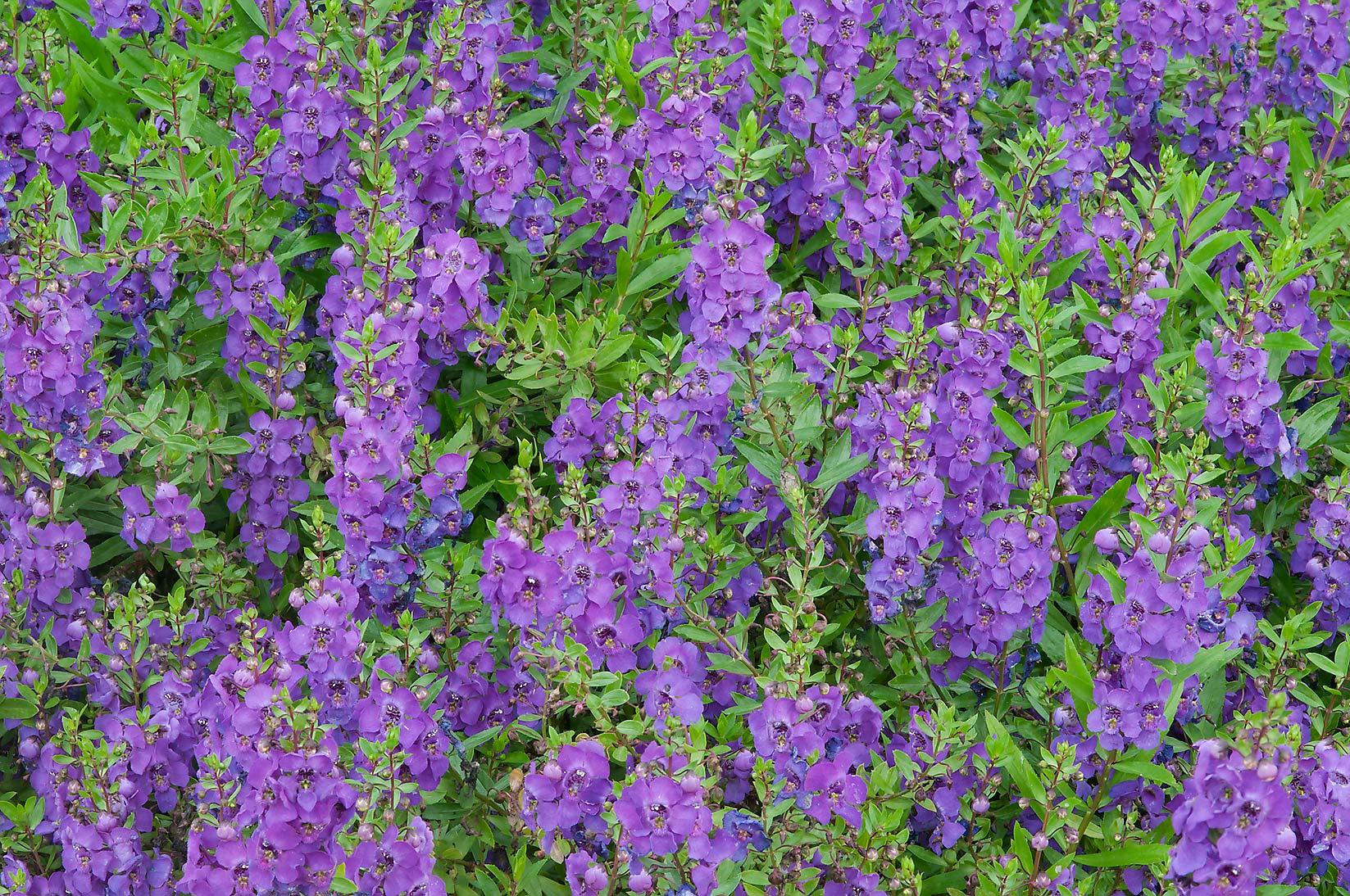 Massive bloom of Angelonia Serena in Mercer...Gardens. Humble (Houston area), Texas