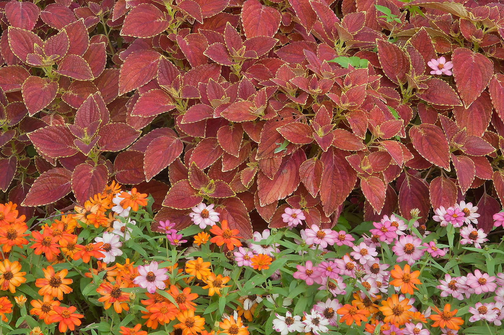 Coleus and asters in Mercer Arboretum and Botanical Gardens. Humble (Houston area), Texas