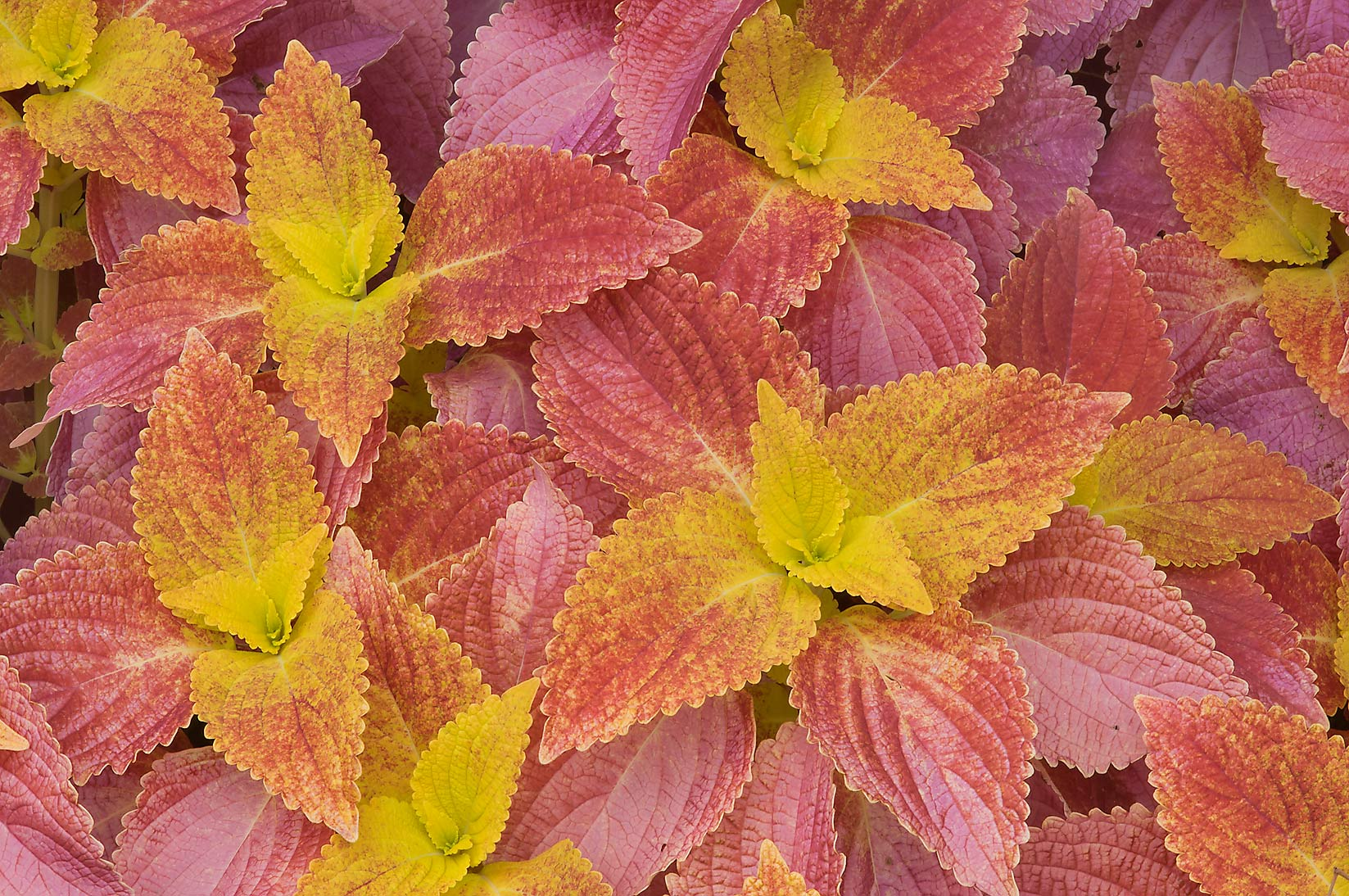 Orange leaves of coleus in Mercer Arboretum and...Gardens. Humble (Houston area), Texas