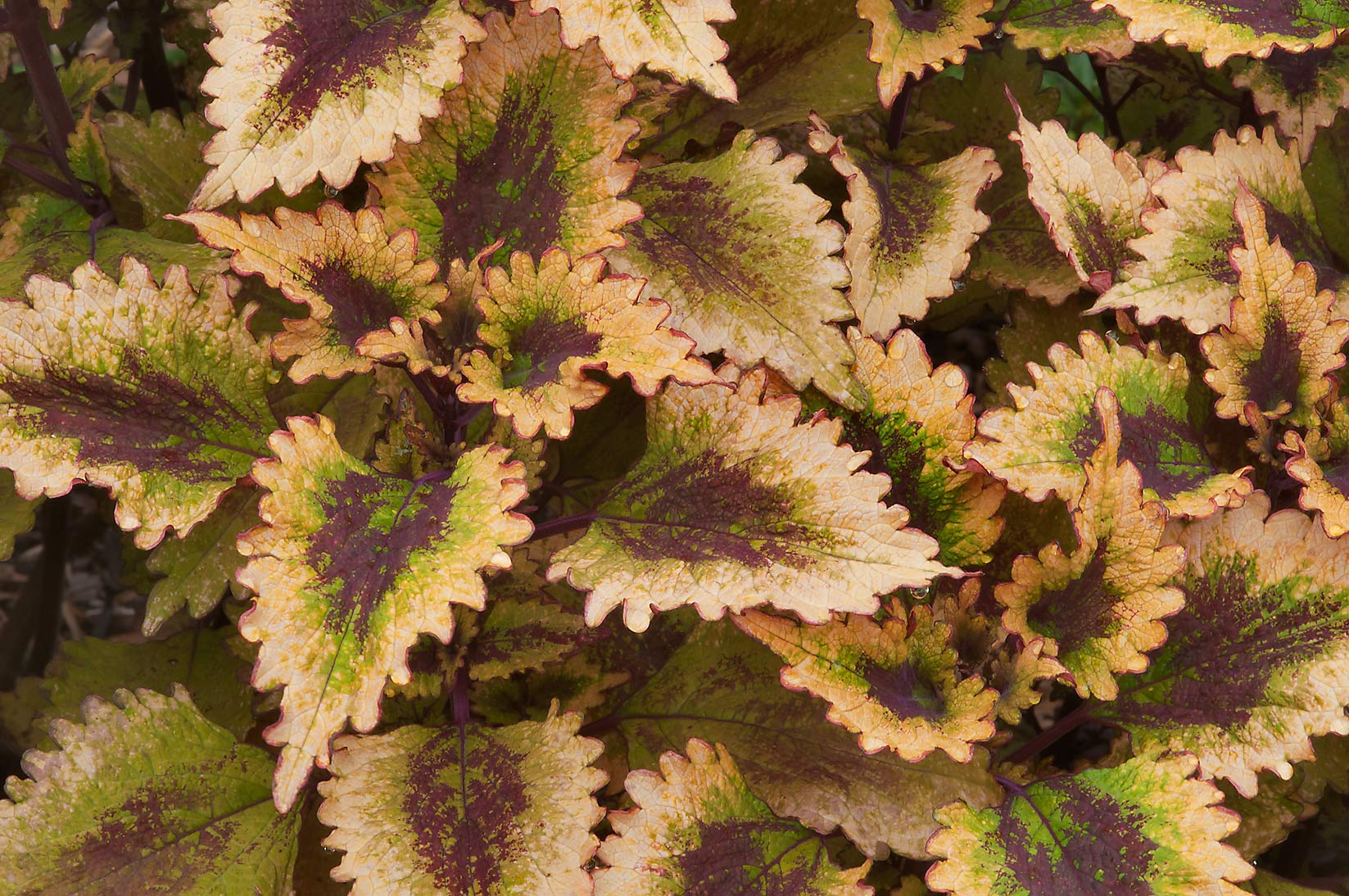 Brown and white leaves of coleus in Mercer...Gardens. Humble (Houston area), Texas