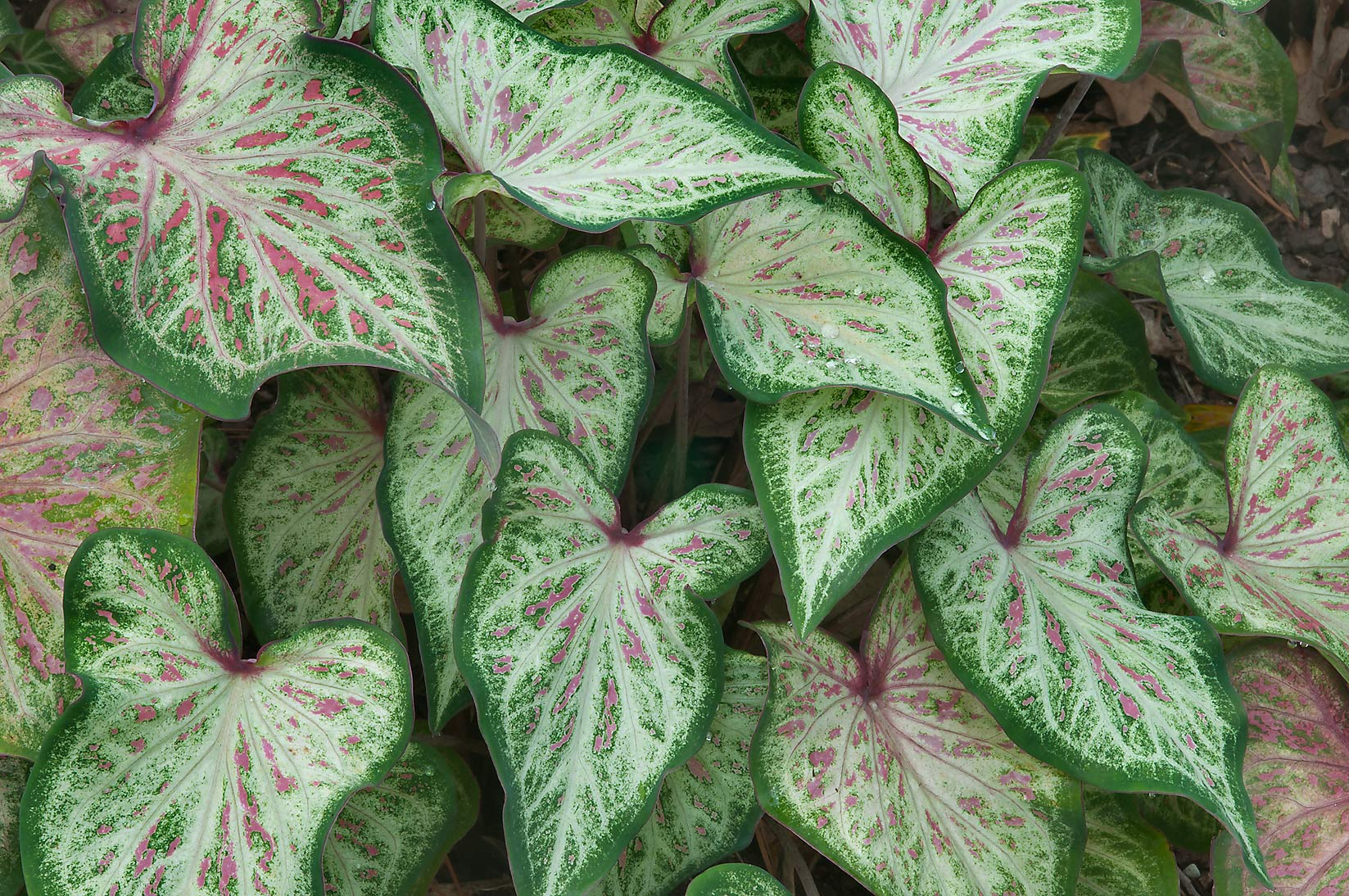 Green and white leaves of caladium in Mercer...Gardens. Humble (Houston area), Texas