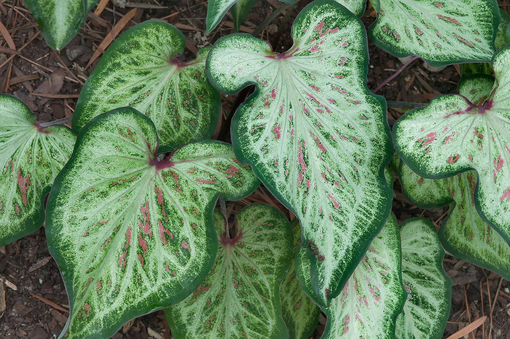 White and green leaves of caladium in Mercer...Gardens. Humble (Houston area), Texas