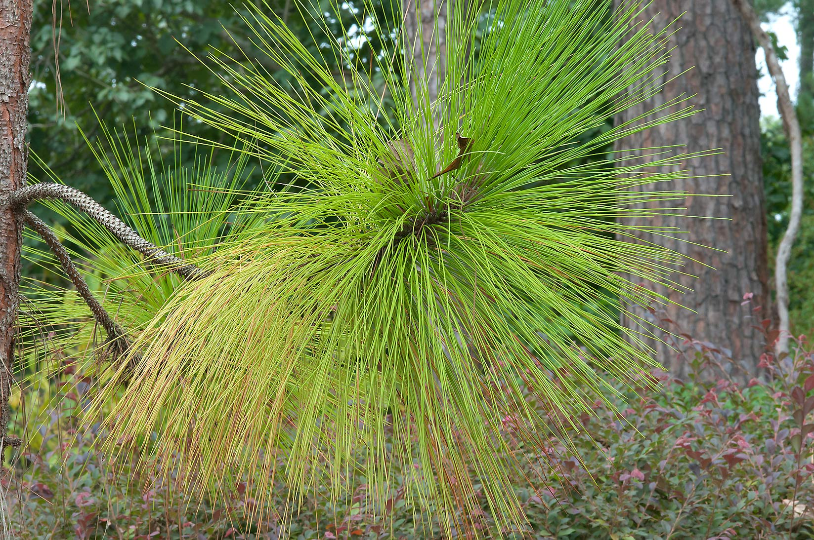 Pine with long needles in Mercer Arboretum and...Gardens. Humble (Houston area), Texas