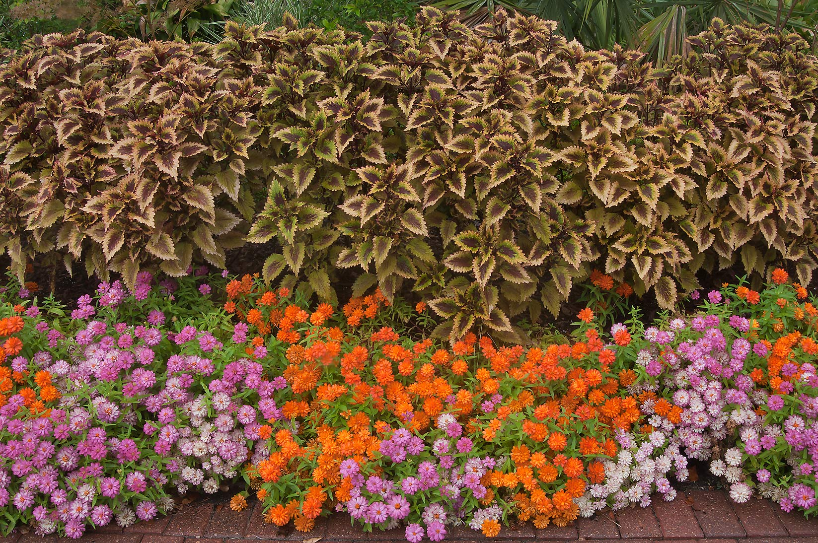 Coleus and profusion zinnia in Mercer Arboretum...Gardens. Humble (Houston area), Texas