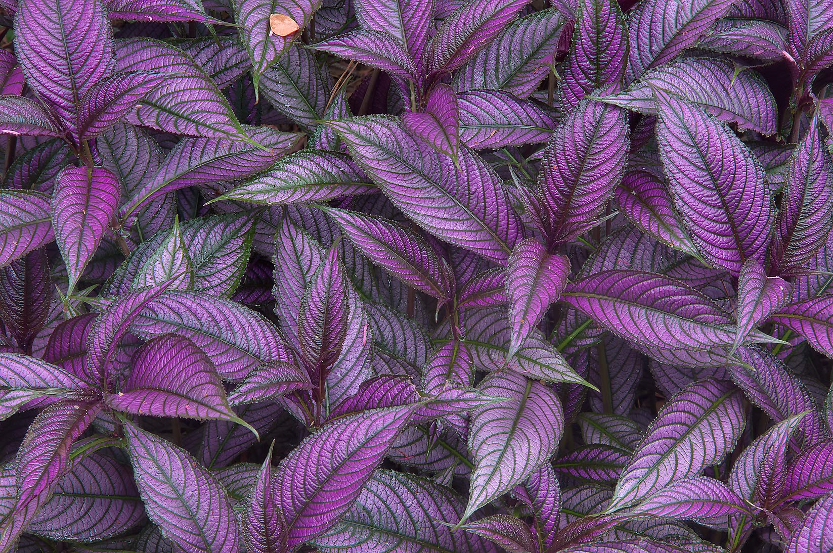 Violet leaves of Persian Shield (Strobilanthes...Gardens. Humble (Houston area), Texas