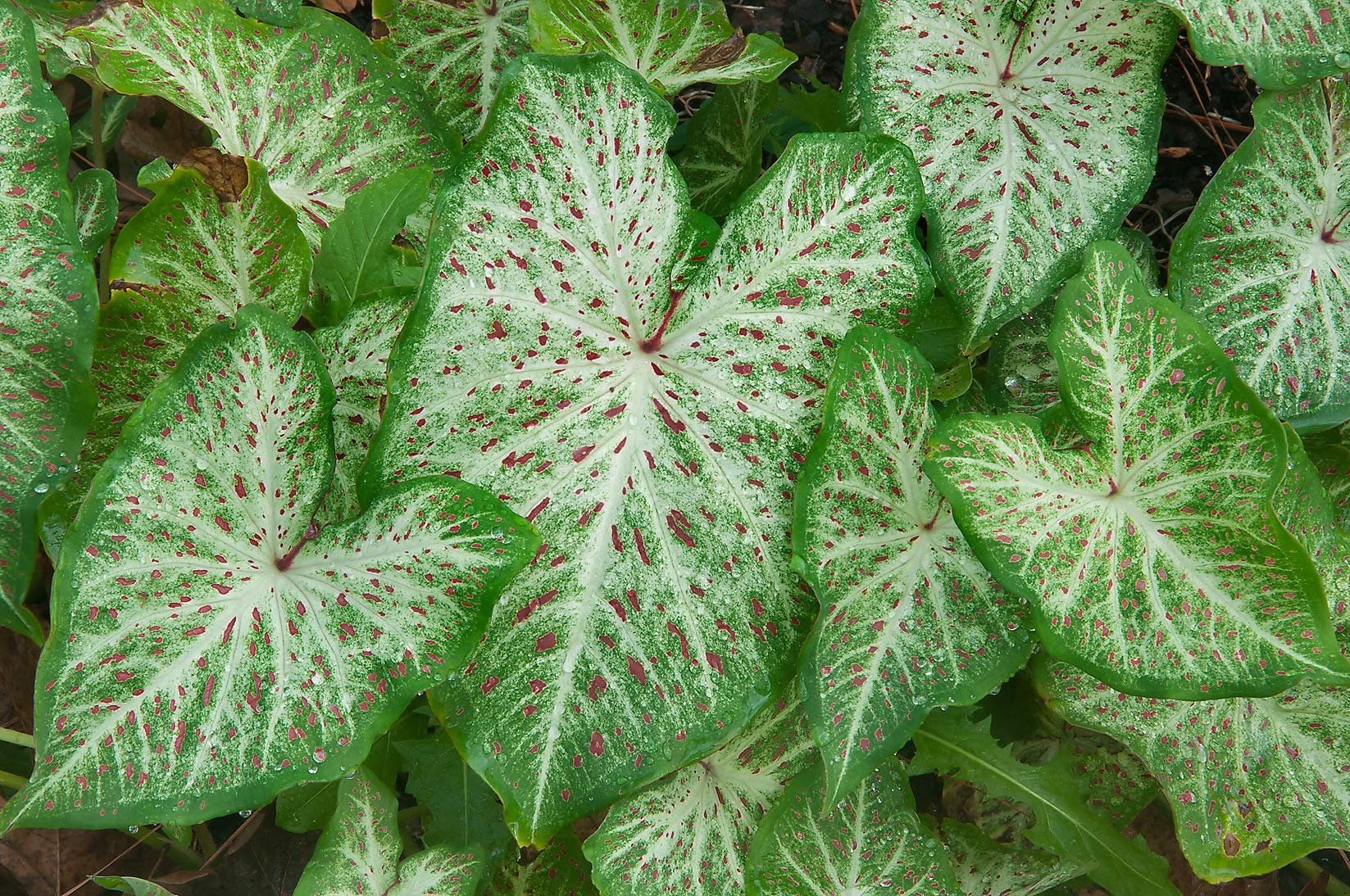White and green caladium leaves in Mercer...Gardens. Humble (Houston area), Texas