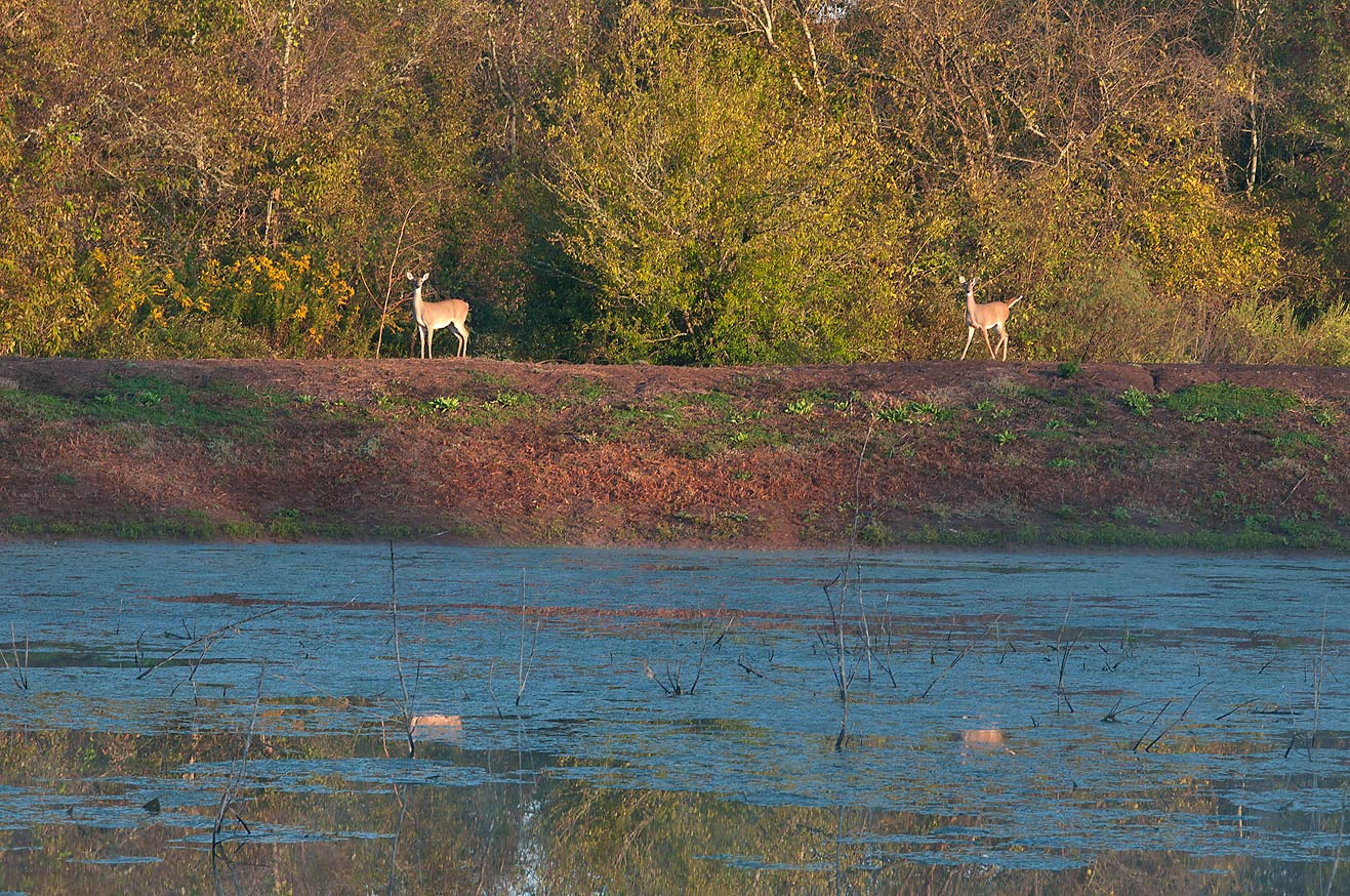 Deers at a pond in Washington-on-the-Brazos State Historic Site. Washington, Texas