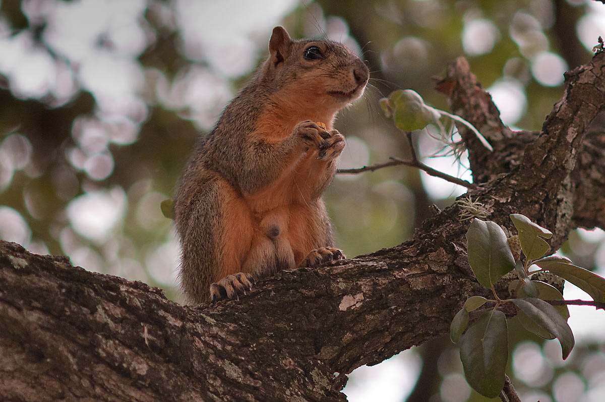 Squirrel sitting on an oak on campus of Texas A&M University. College Station, Texas
