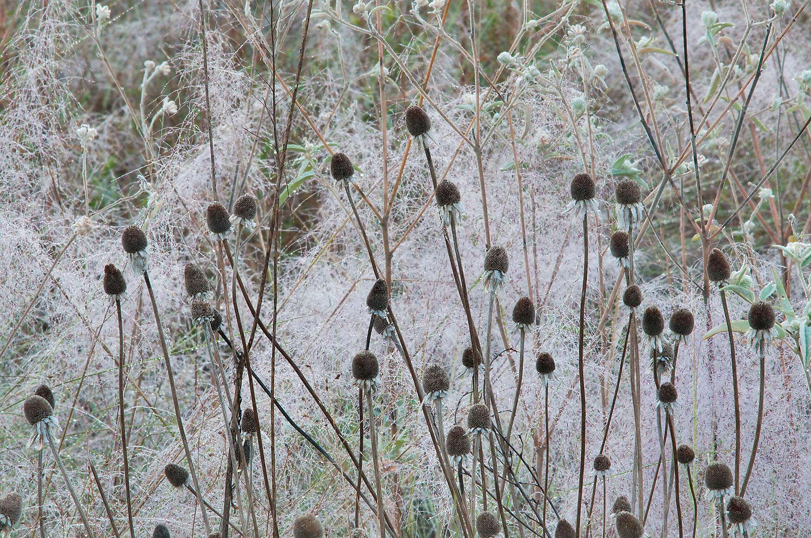 Dry seed heads of Black eyed susan (Rudbeckia...Creek Park. College Station, Texas
