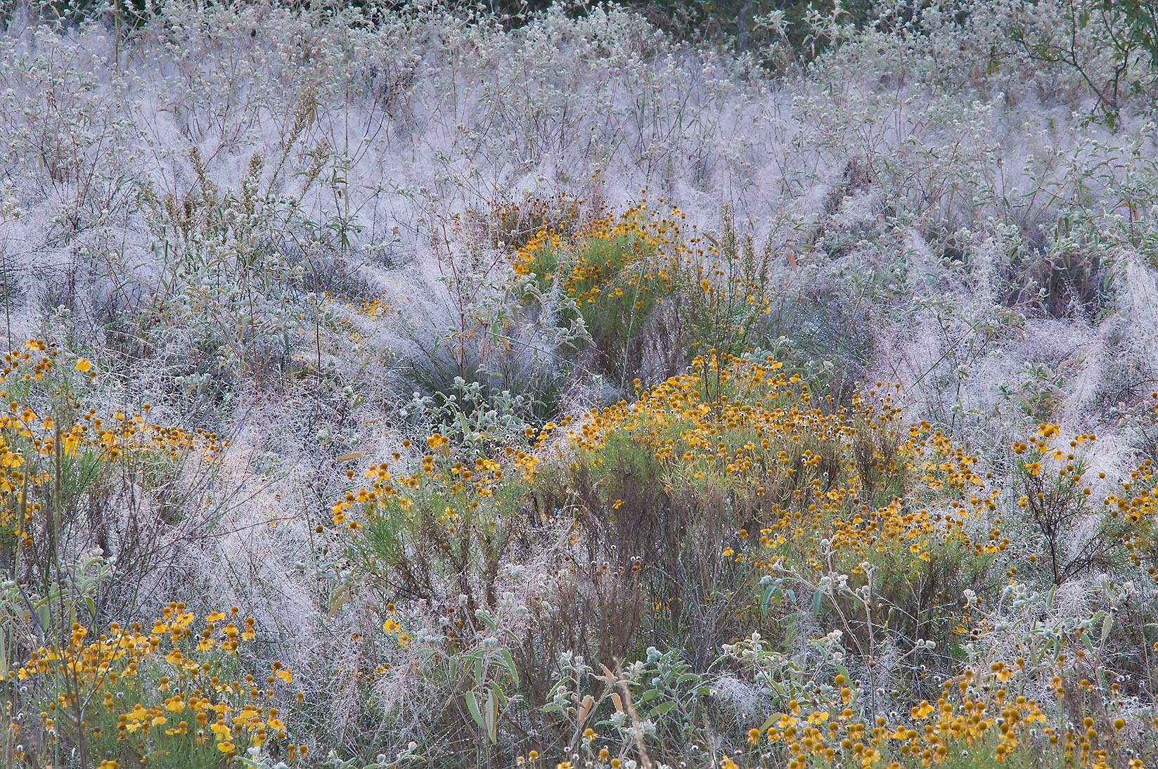 Sneezeweed and grasses in dew from Post Oak Trail...Creek Park. College Station, Texas