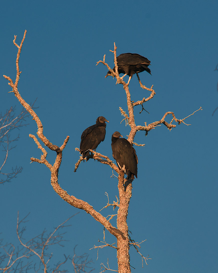 Turkey vultures on a dry oak tree at sunrise in Lake Bryan Park. Bryan, Texas