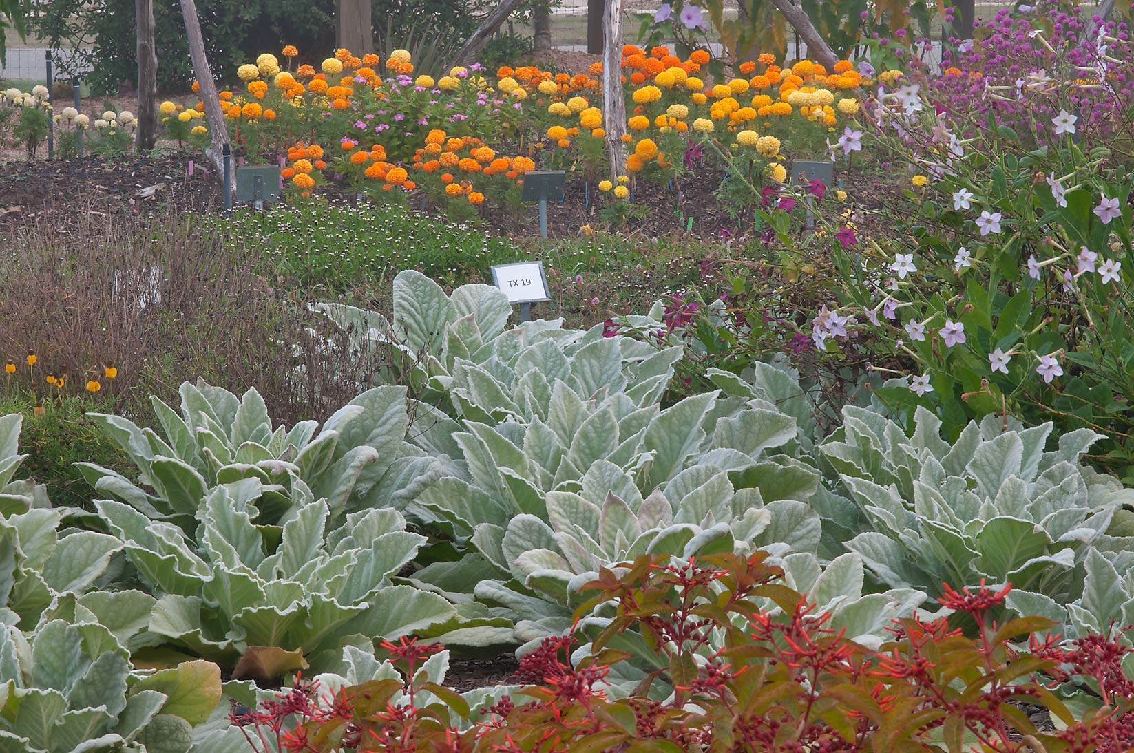 Flower beds in TAMU Horticultural Gardens in...M University. College Station, Texas