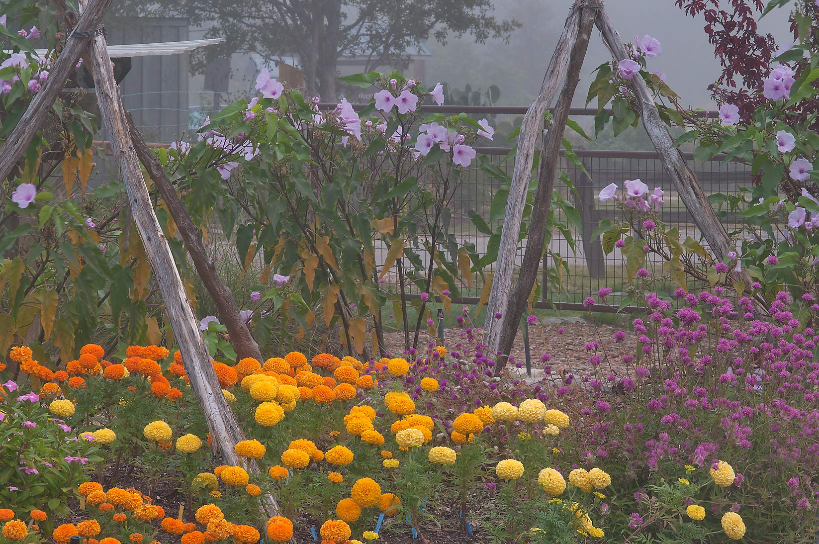 Flower beds in fog in TAMU Horticultural Gardens...M University. College Station, Texas