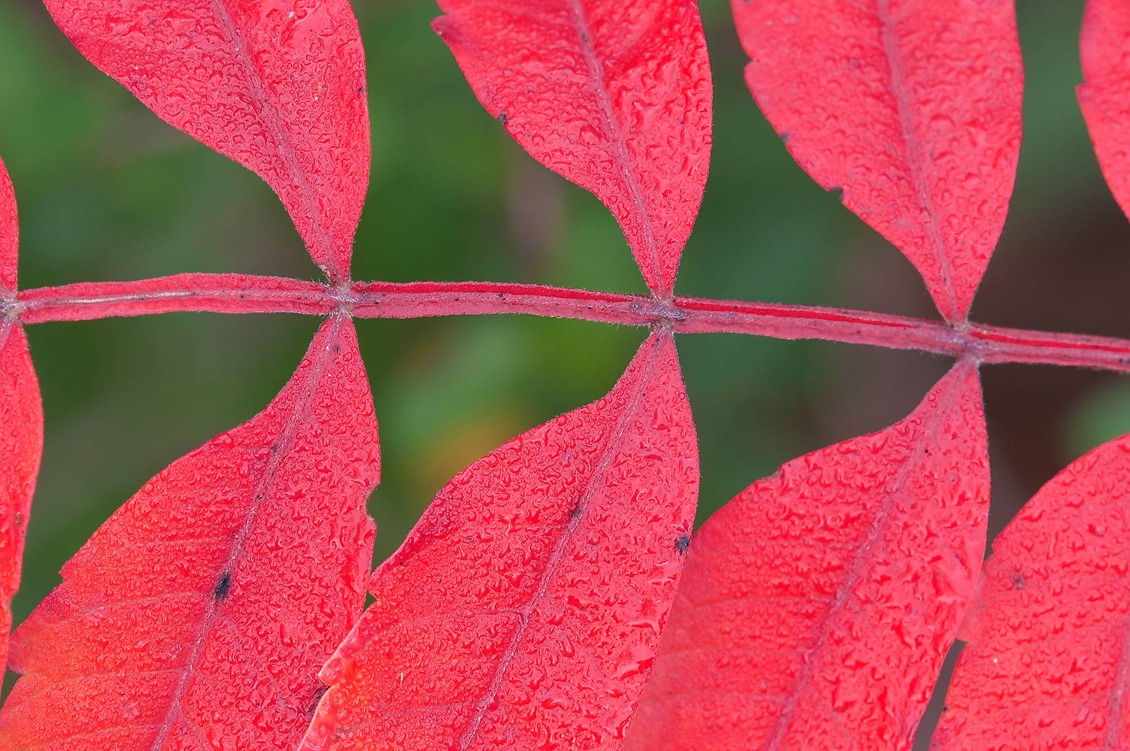 Bright red leaf of sumach in Lick Creek Park. College Station, Texas