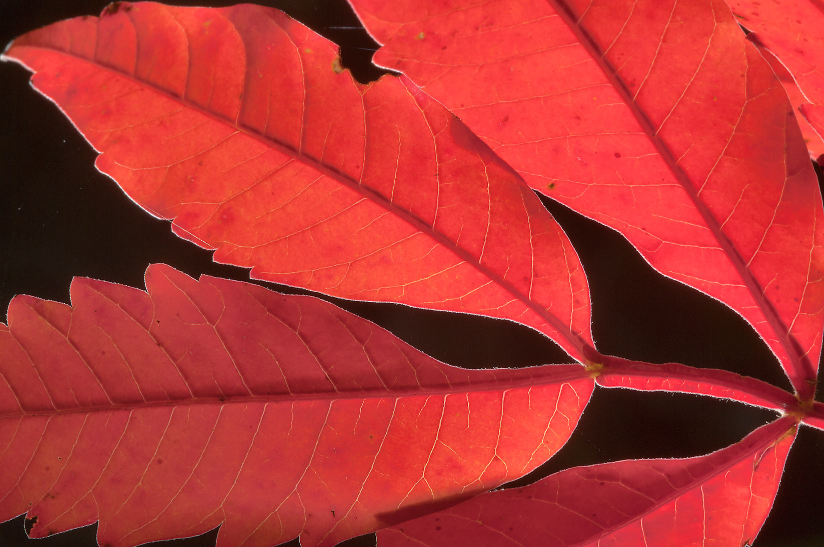 Red leaf of sumach in Lick Creek Park. College Station, Texas