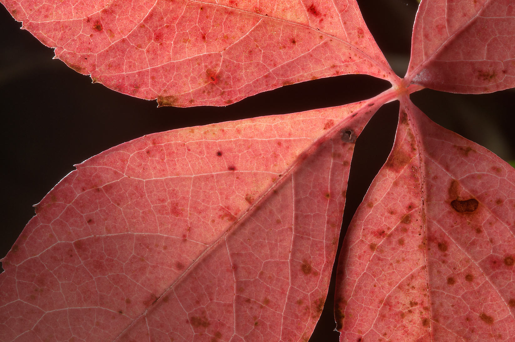 Pink leaf of Virginia creeper in Lick Creek Park. College Station, Texas