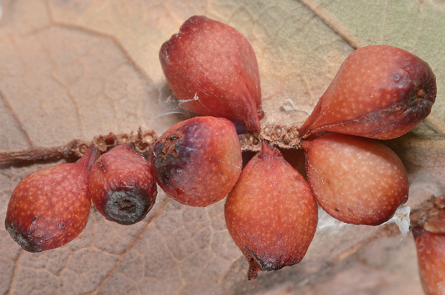 Galls under an oak leaf in Birch Creek Unit of Somerville Lake State Park. Texas