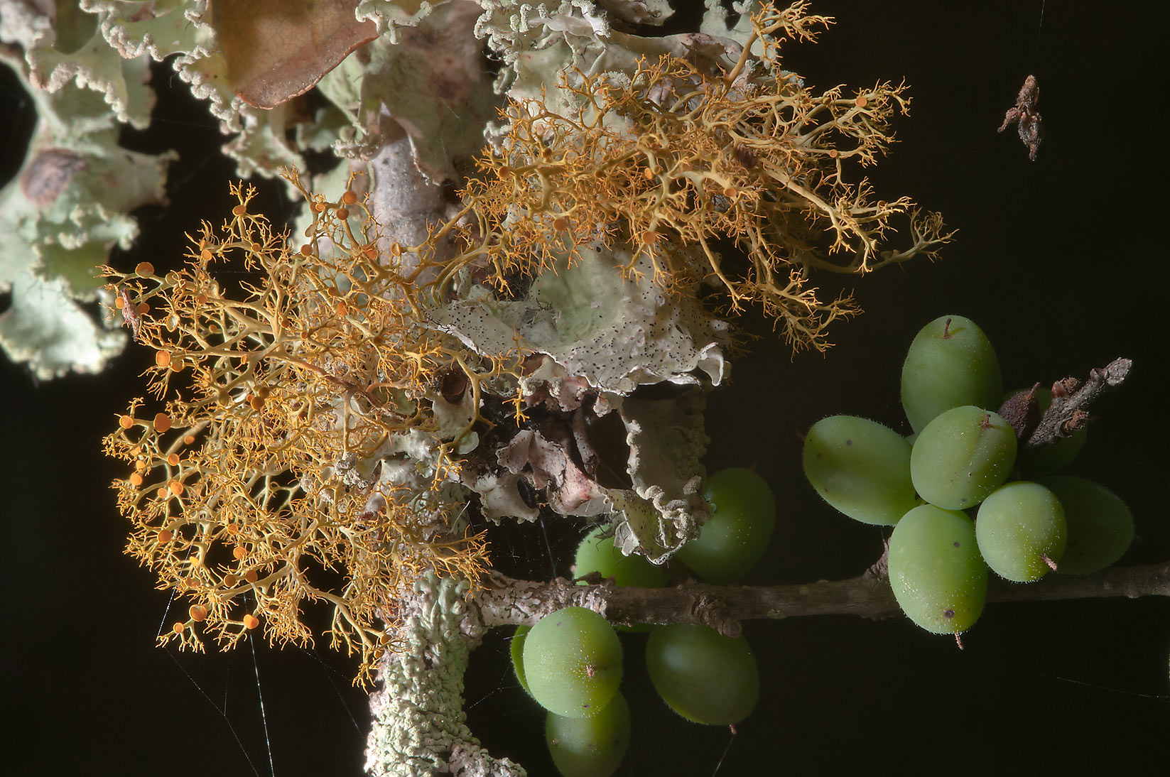 Lichens and green berries of upland swamp-privet...of Somerville Lake State Park. Texas