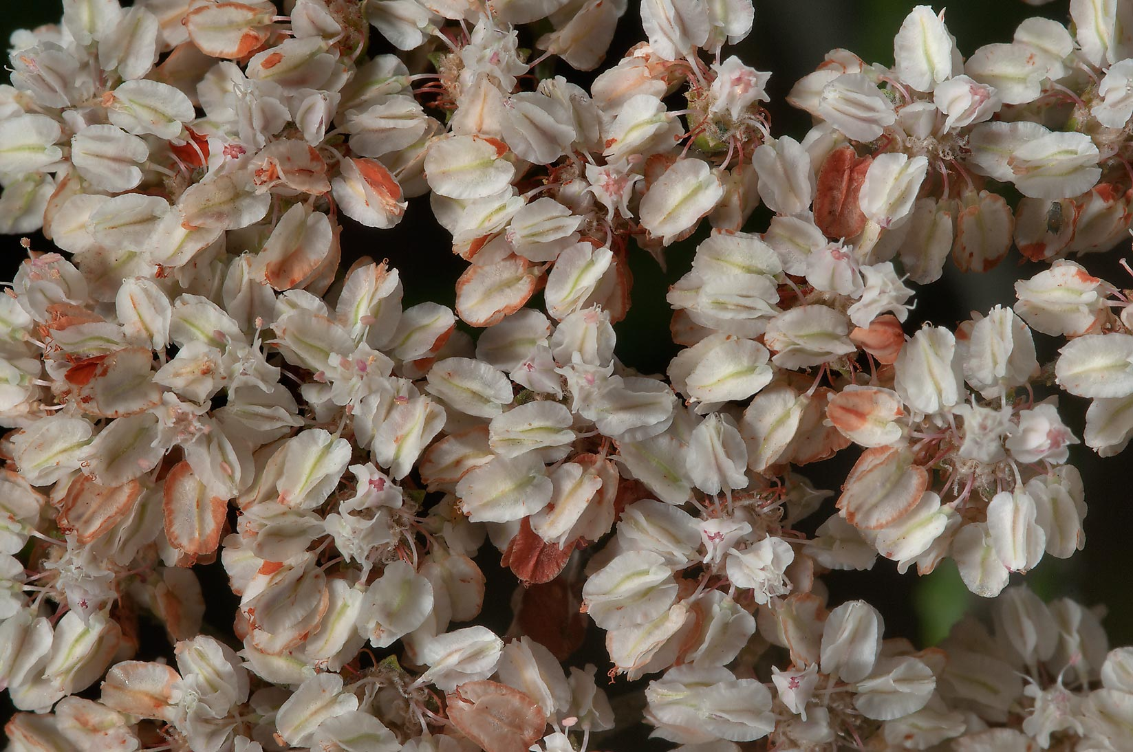Photo 1118 01 Flowers Of Wild Buckwheat Yerba Coloradoof