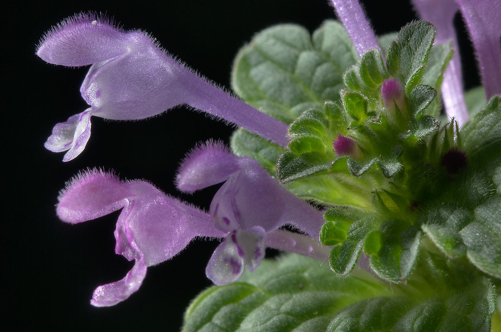 Flowers of clasping henbit (henbit deadnettle...Bush Dr.. College Station, Texas